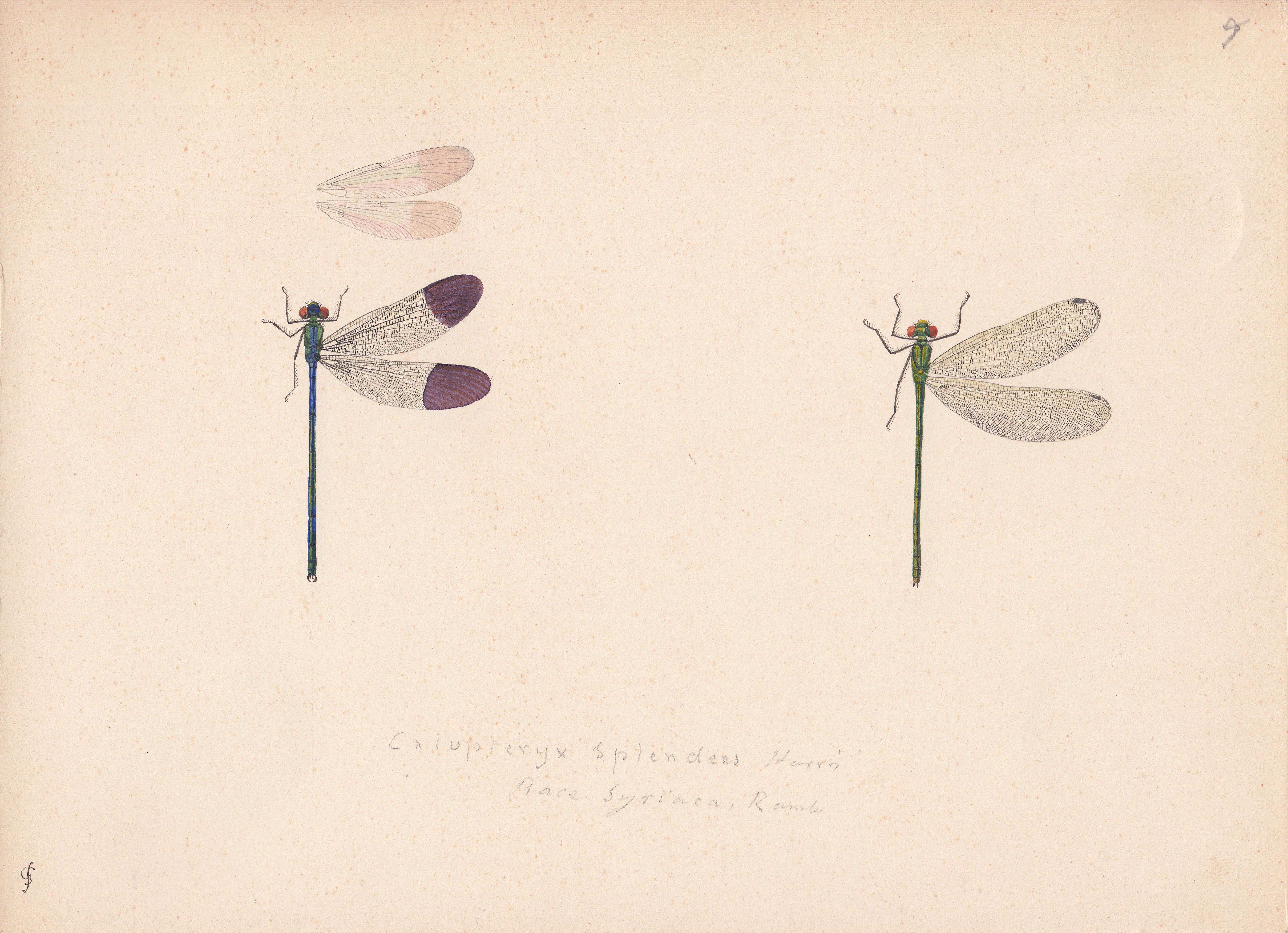 Calopteryx splendens variety syriaca.jpg