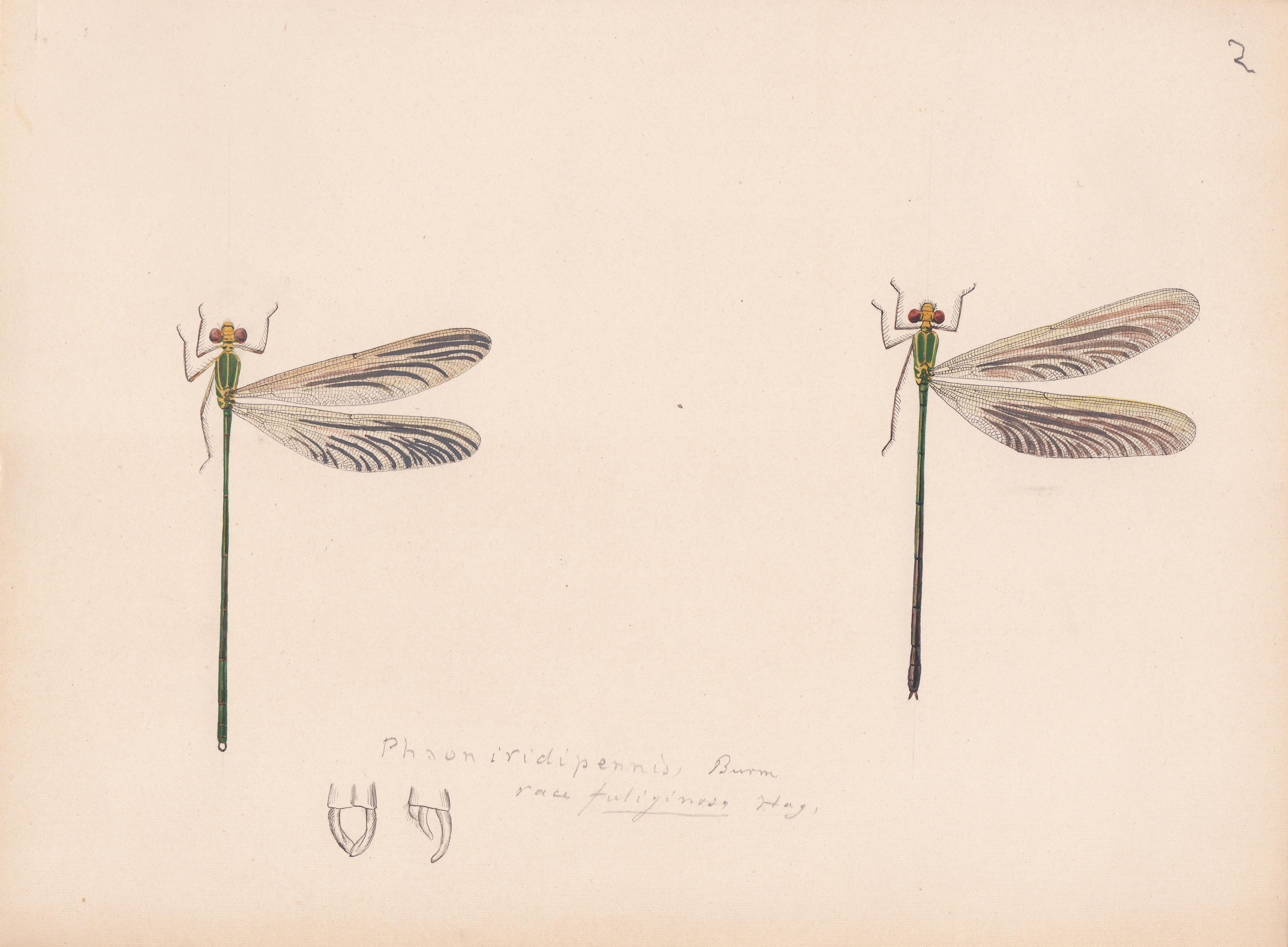 Phaon iridipennis variety fuliginosa.jpg