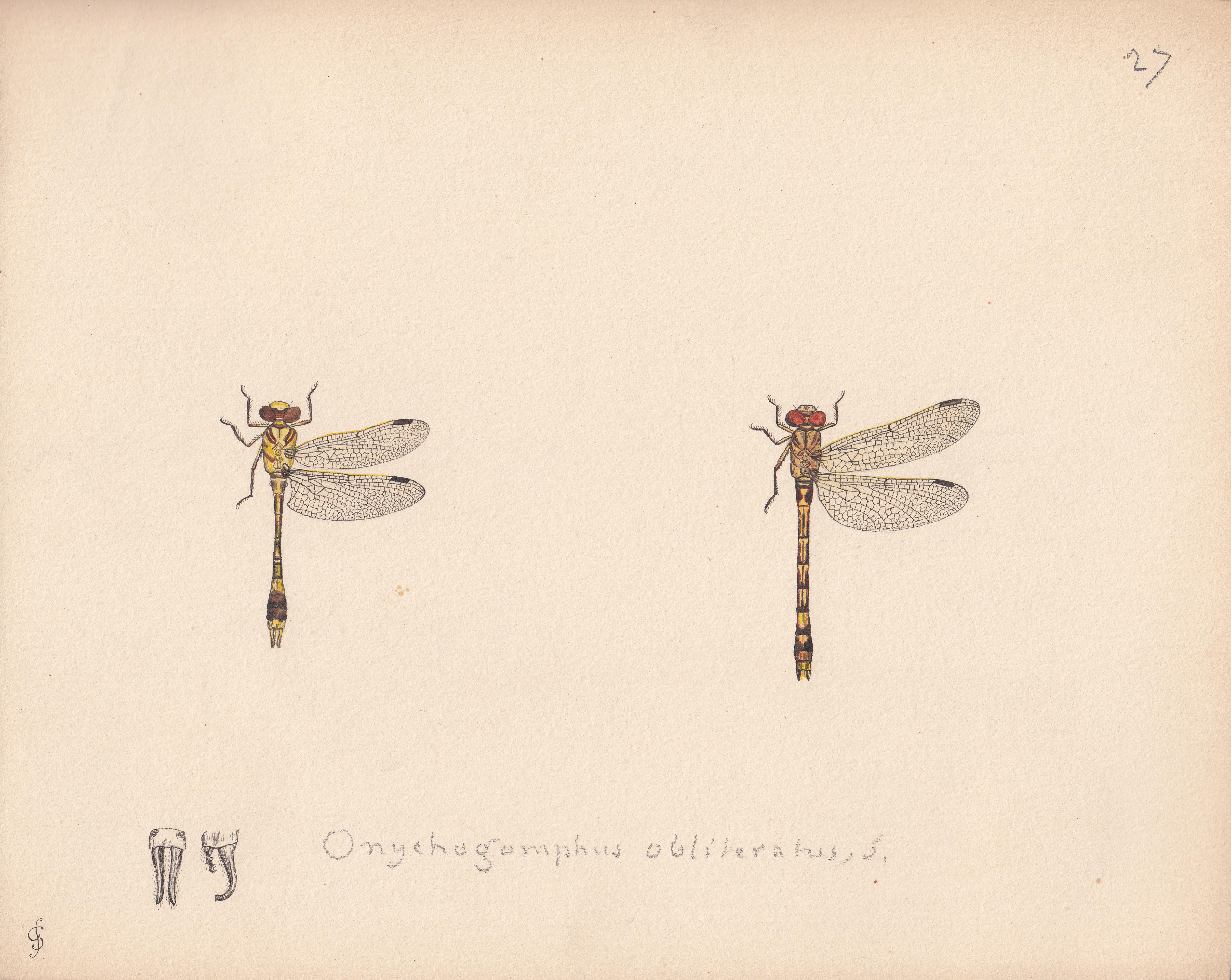 Onychogomphus obliteratus.jpg