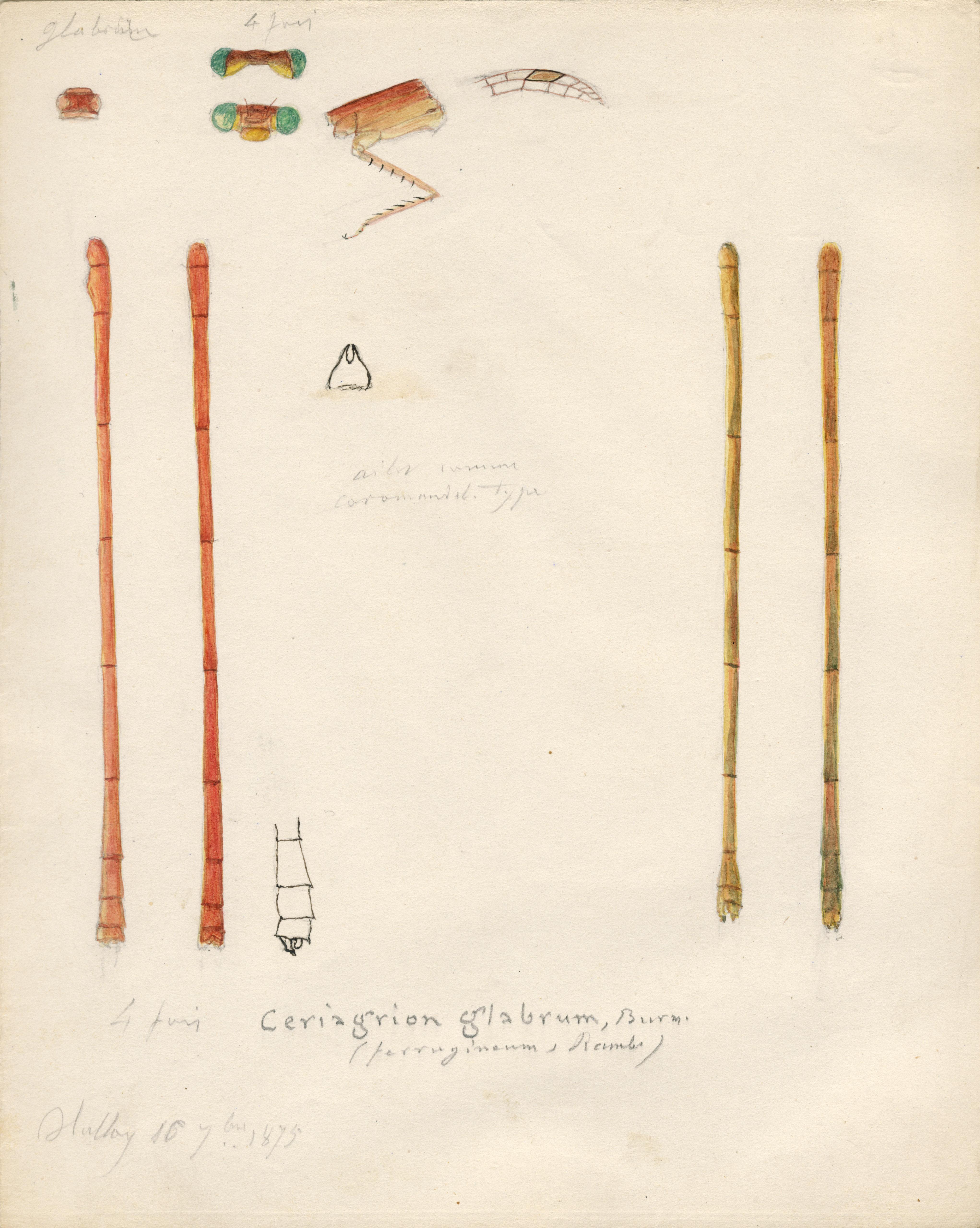 Ceriagrion glabrum.jpg