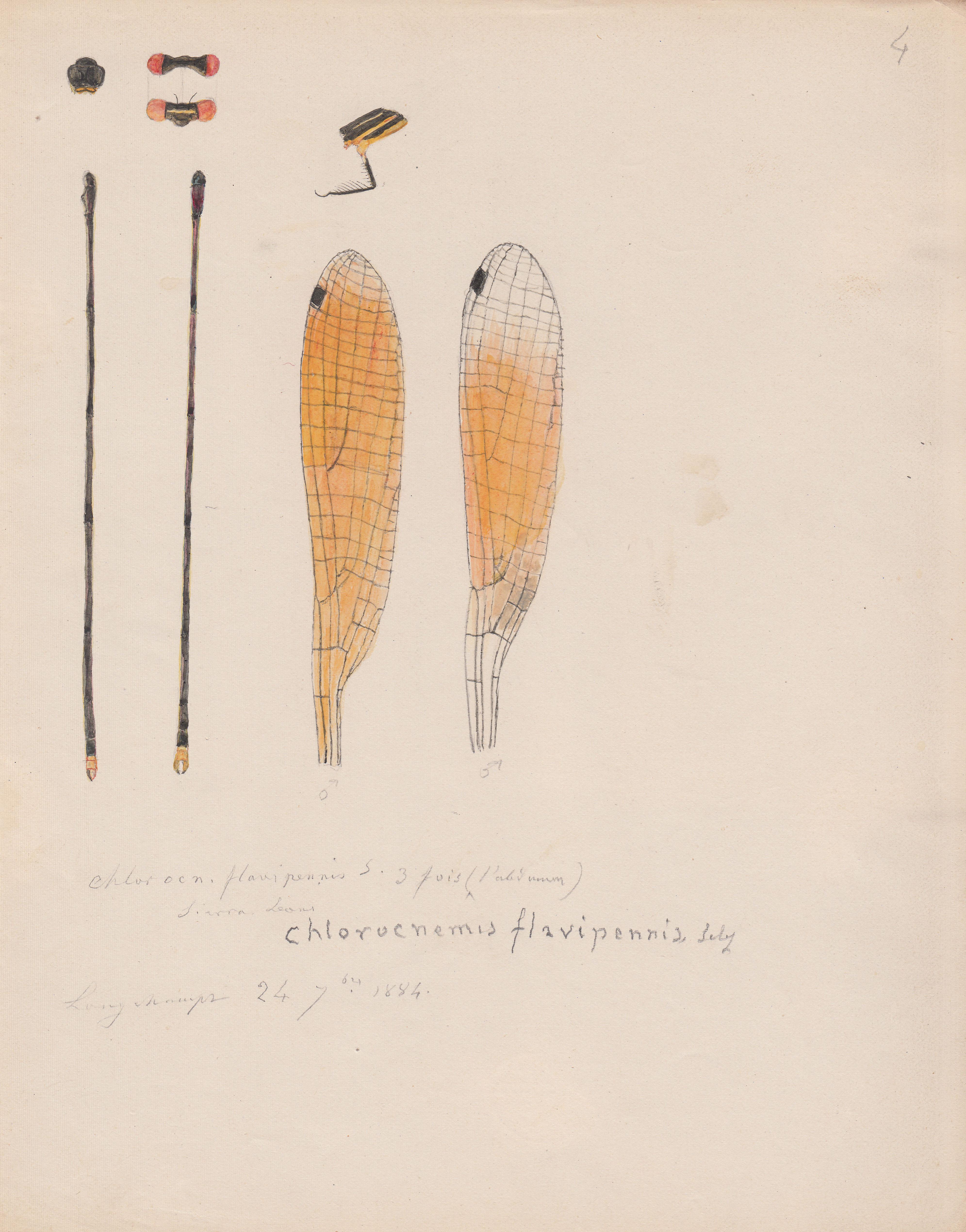 Chlorocnemis flavipennis.jpg