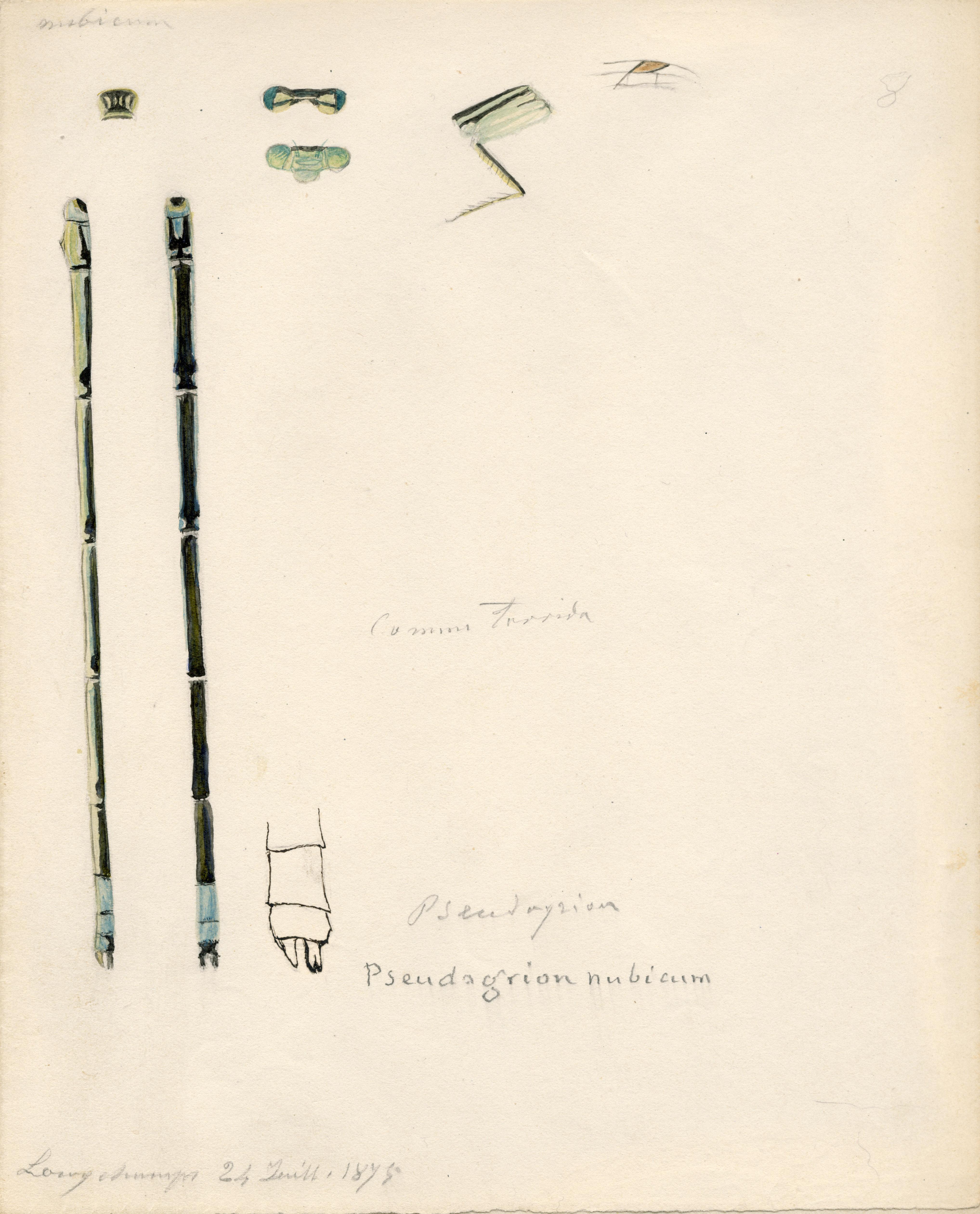 Pseudagrion nubicum.jpg