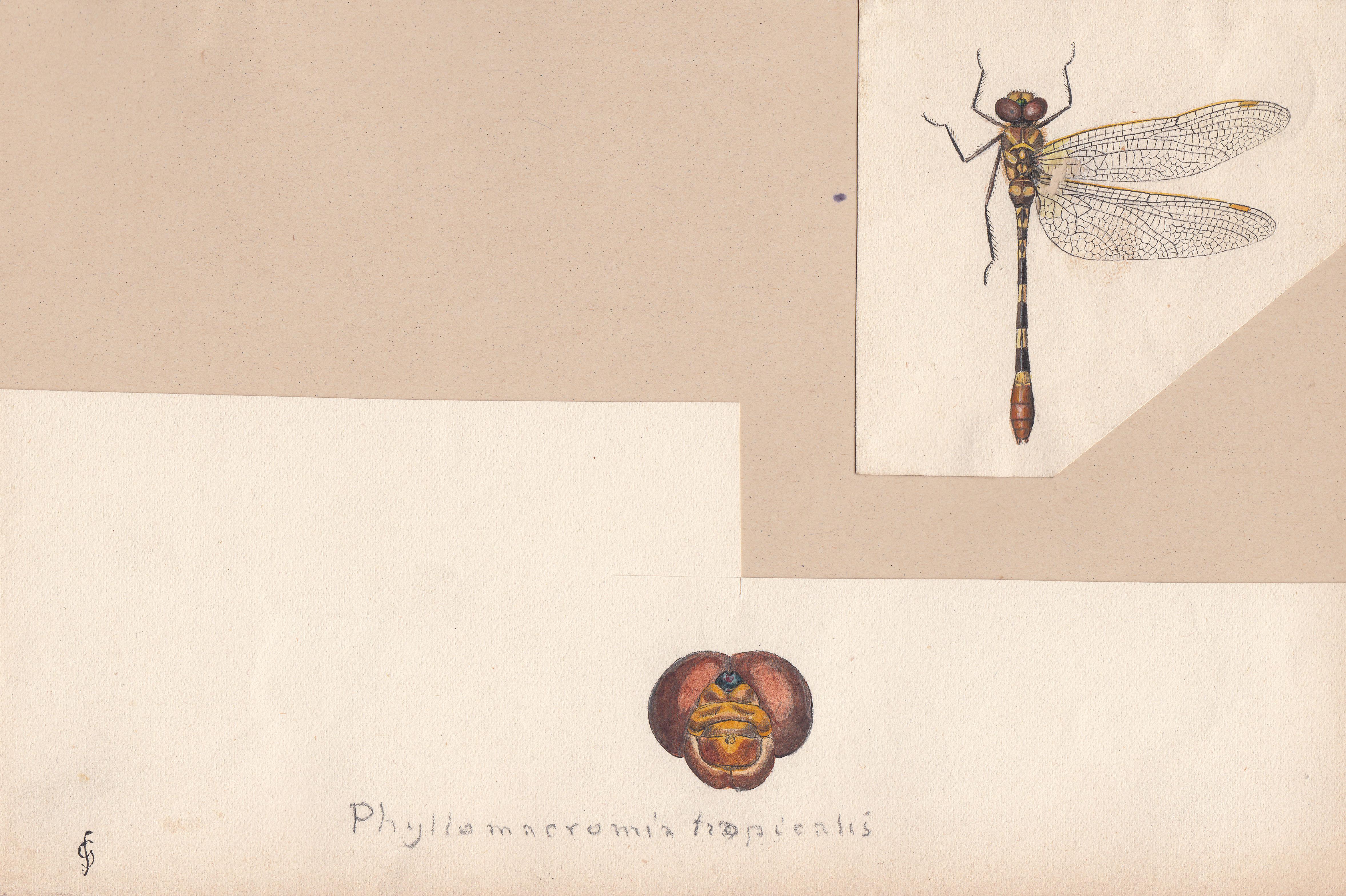 Phyllomacromia tropicalis.jpg
