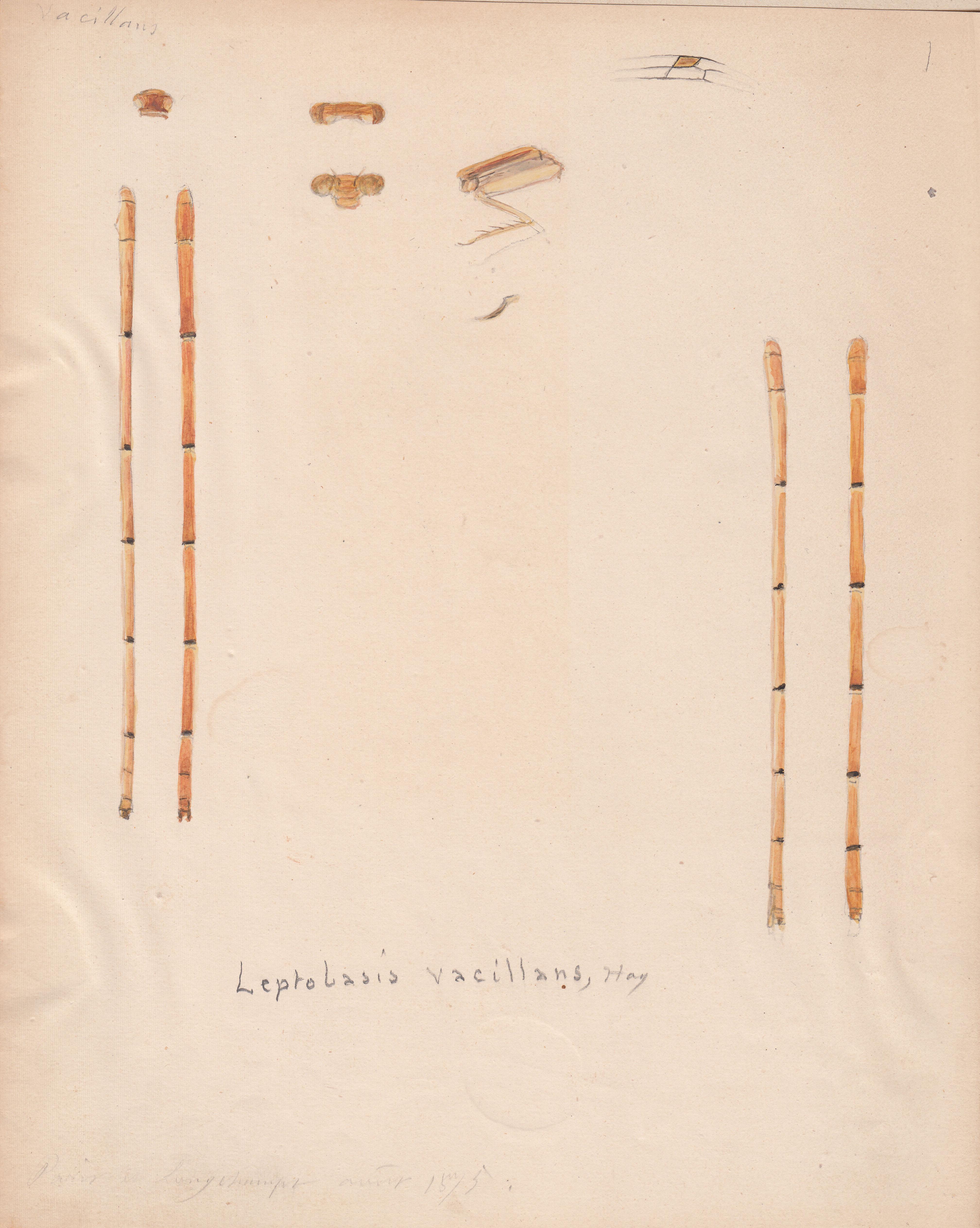 Leptobasis vacillans.jpg