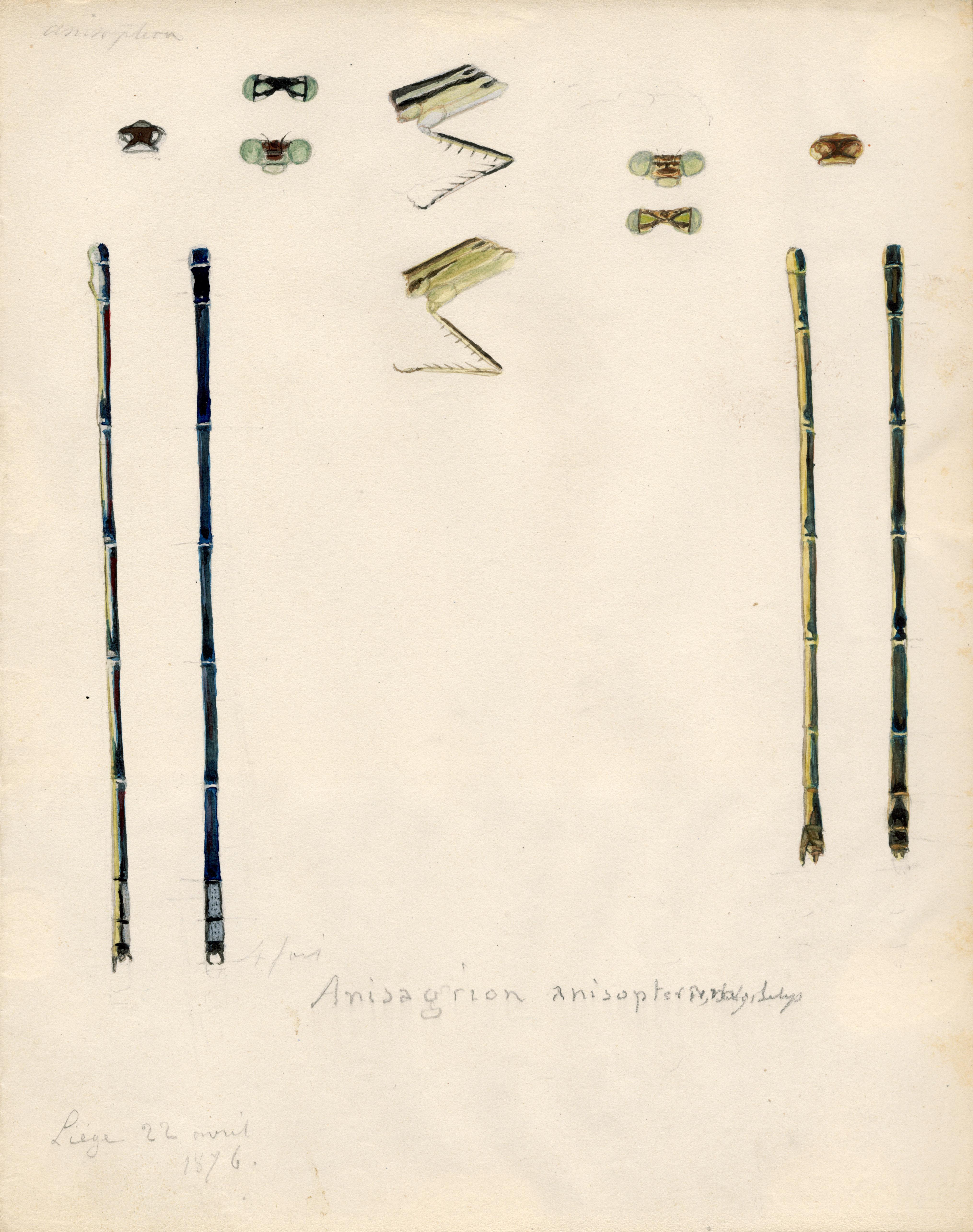 Anisagrion anisopterum.jpg