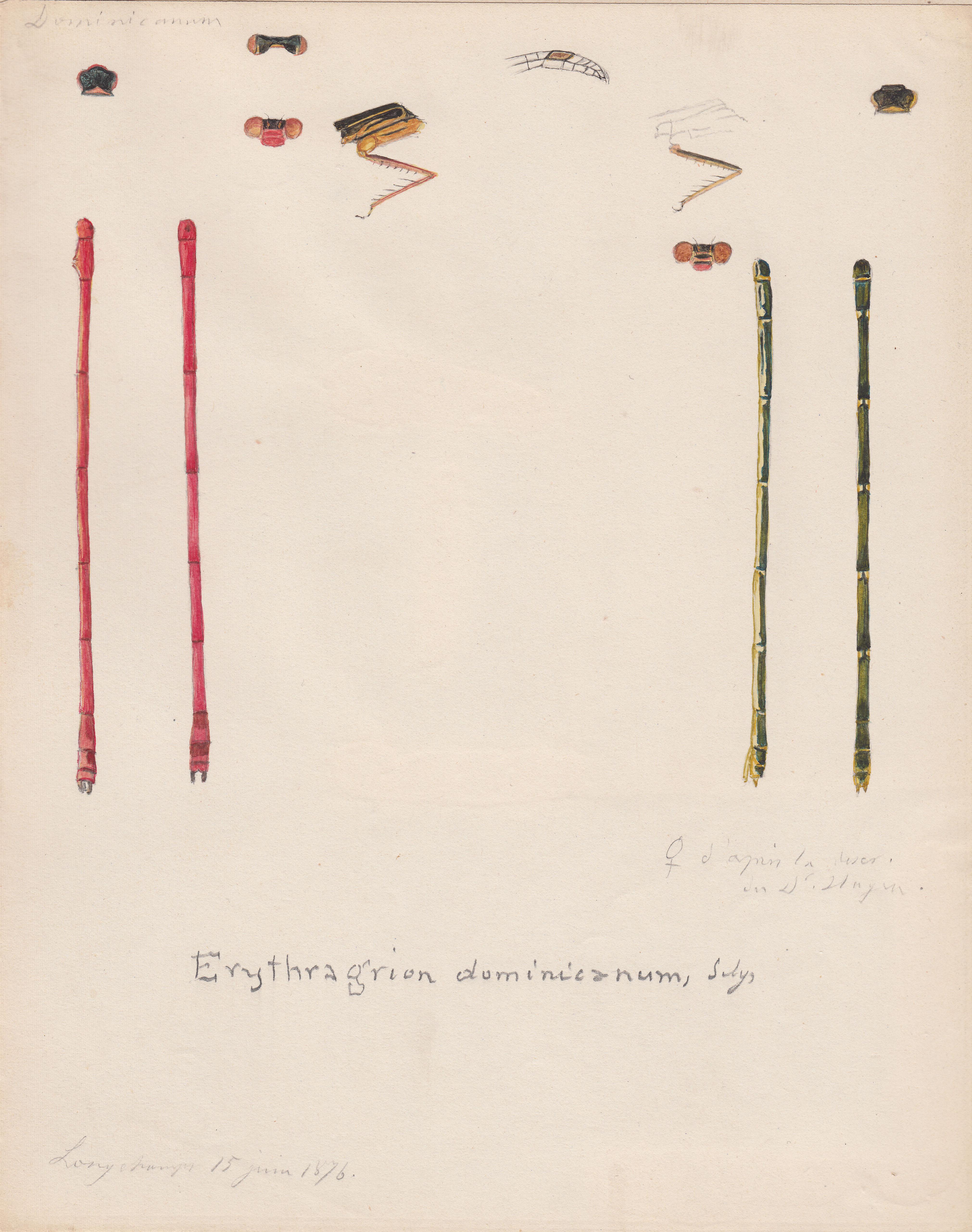 Erythragrion dominicanum.jpg