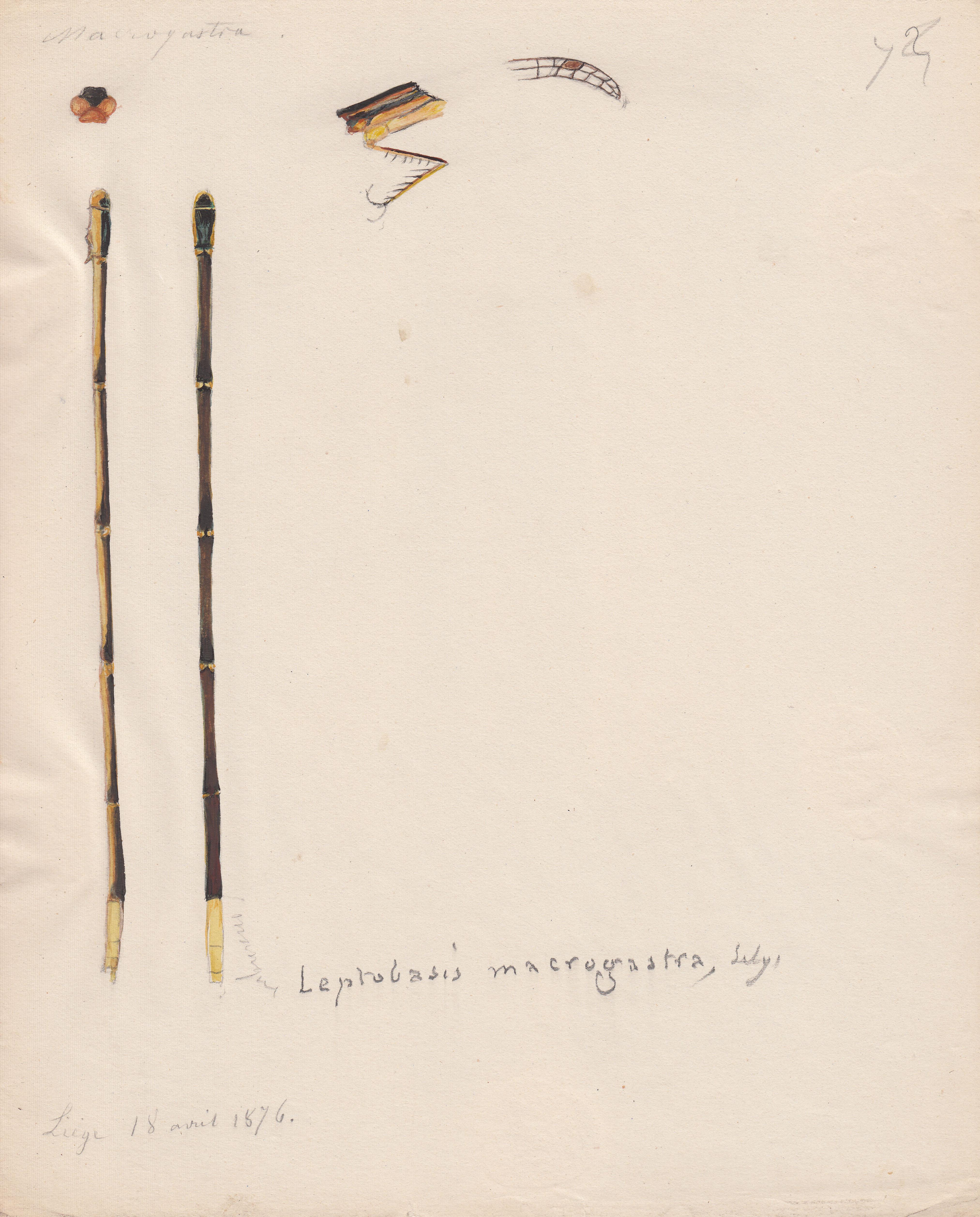 Leptobasis macrogastra.jpg