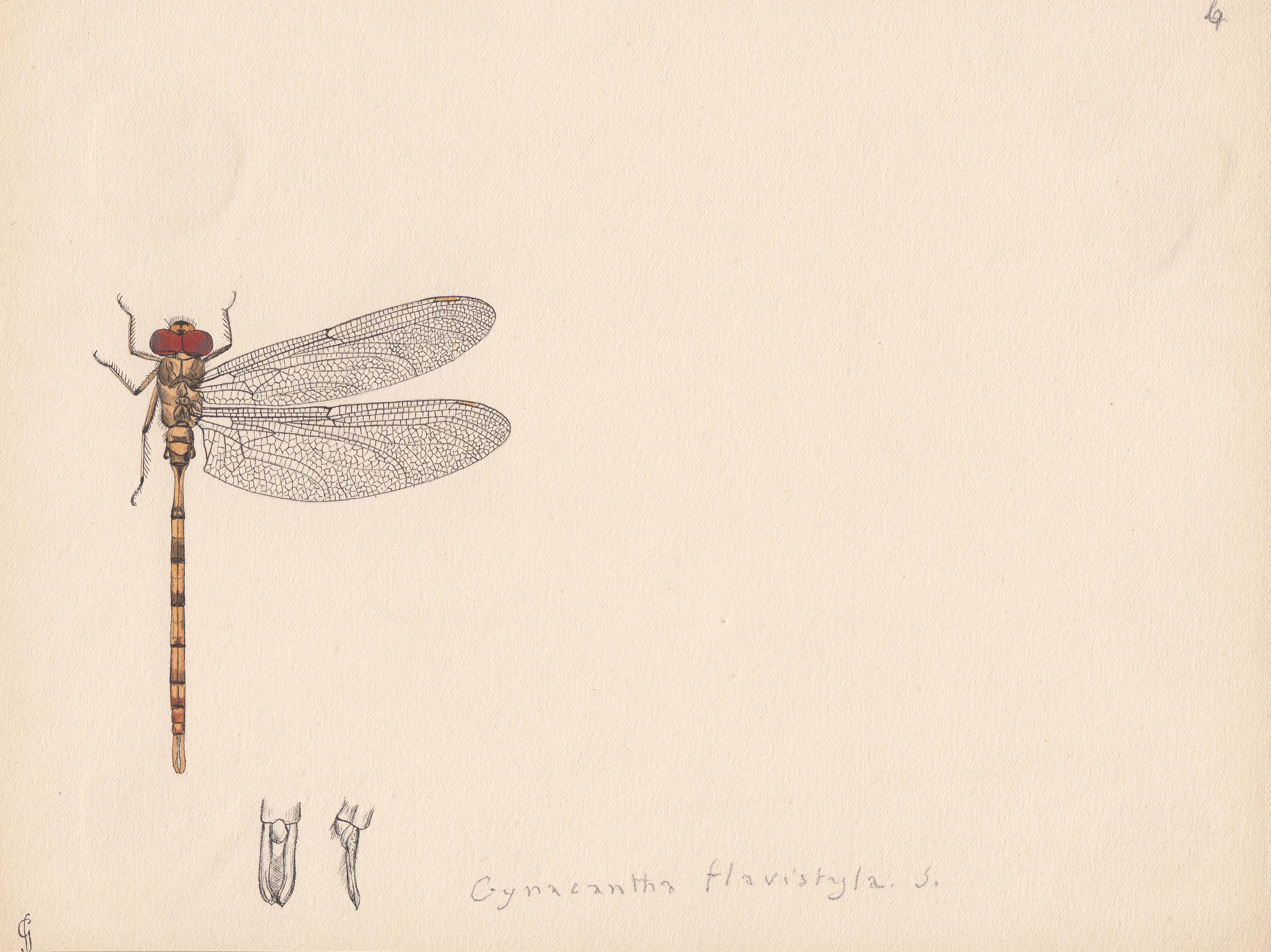 Gynacantha flavistyla.jpg