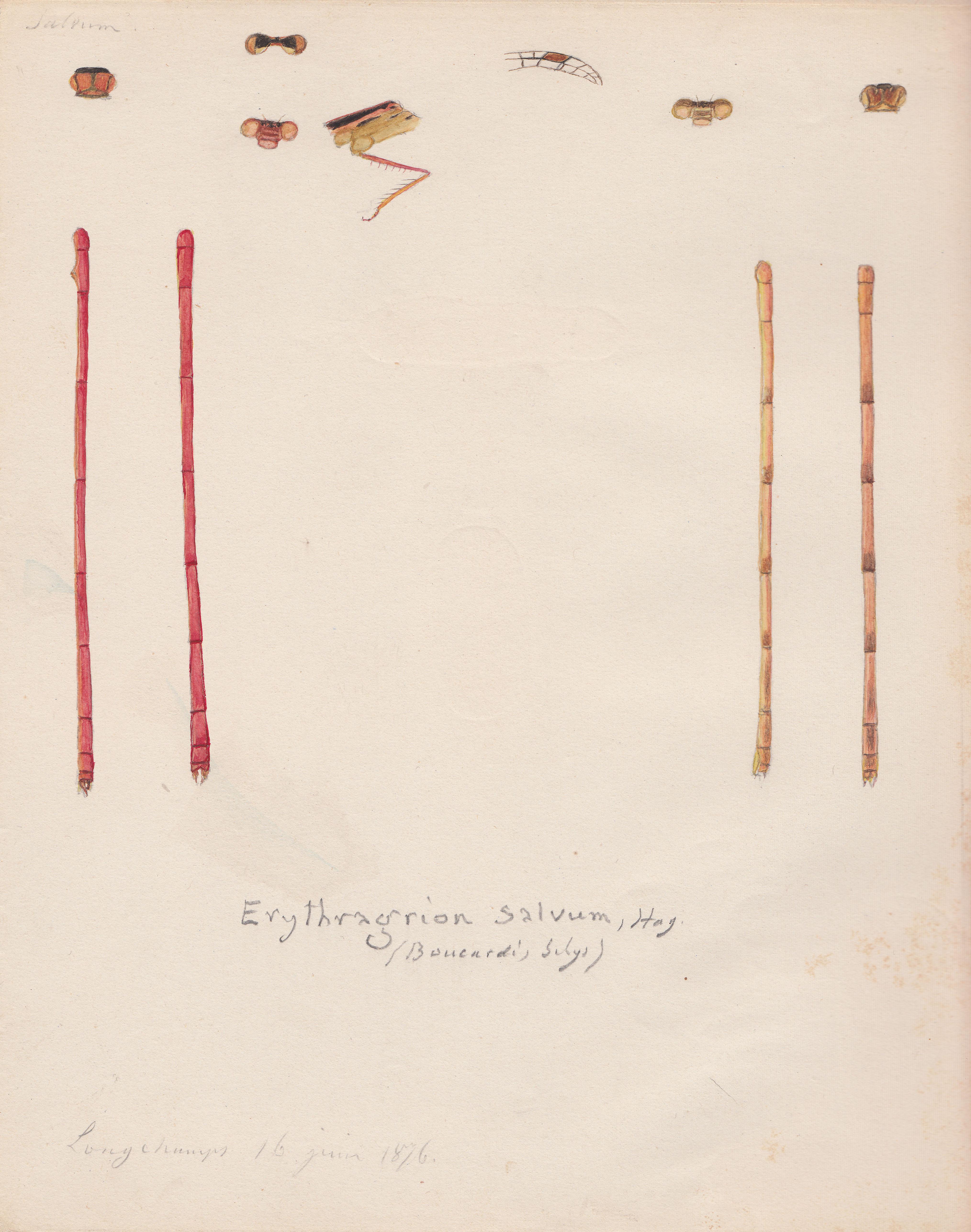 Erythragrion salvum.jpg