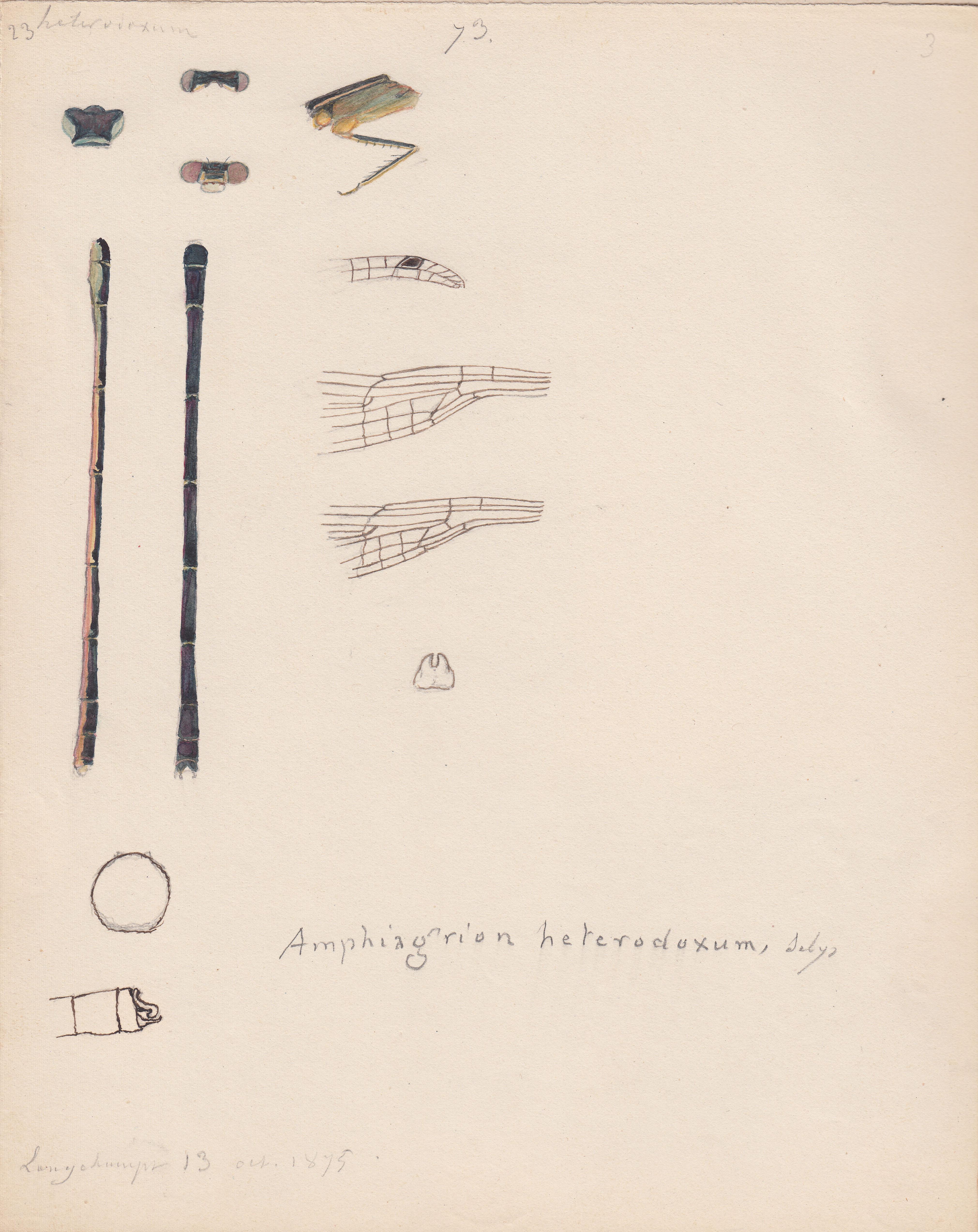 Amphiagrion heterodoxum.jpg