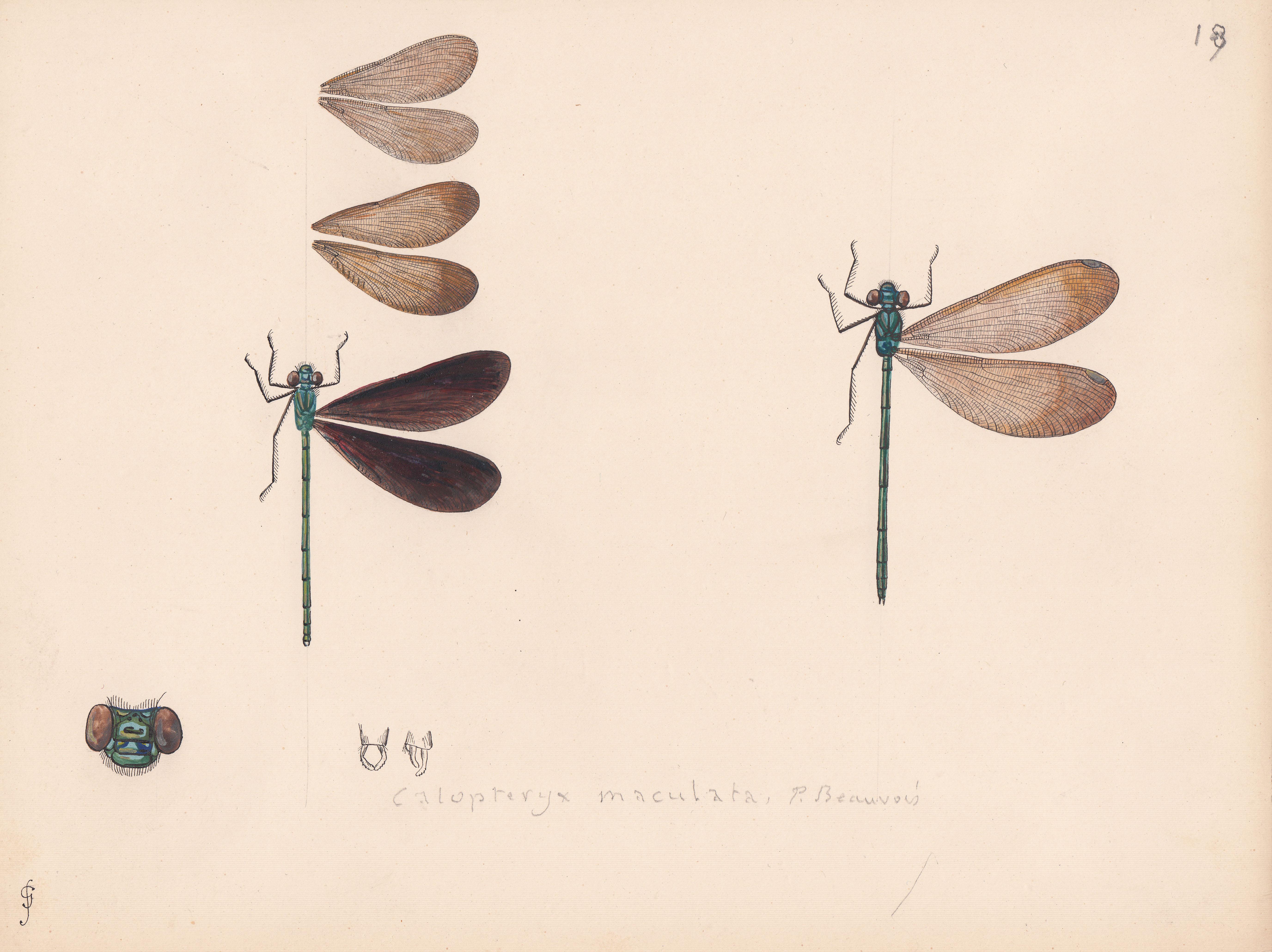 Calopteryx maculata.jpg
