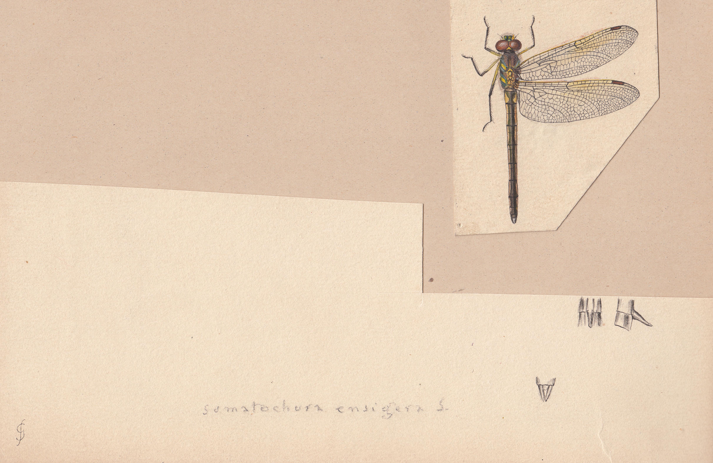 Somatochlora ensigera.jpg
