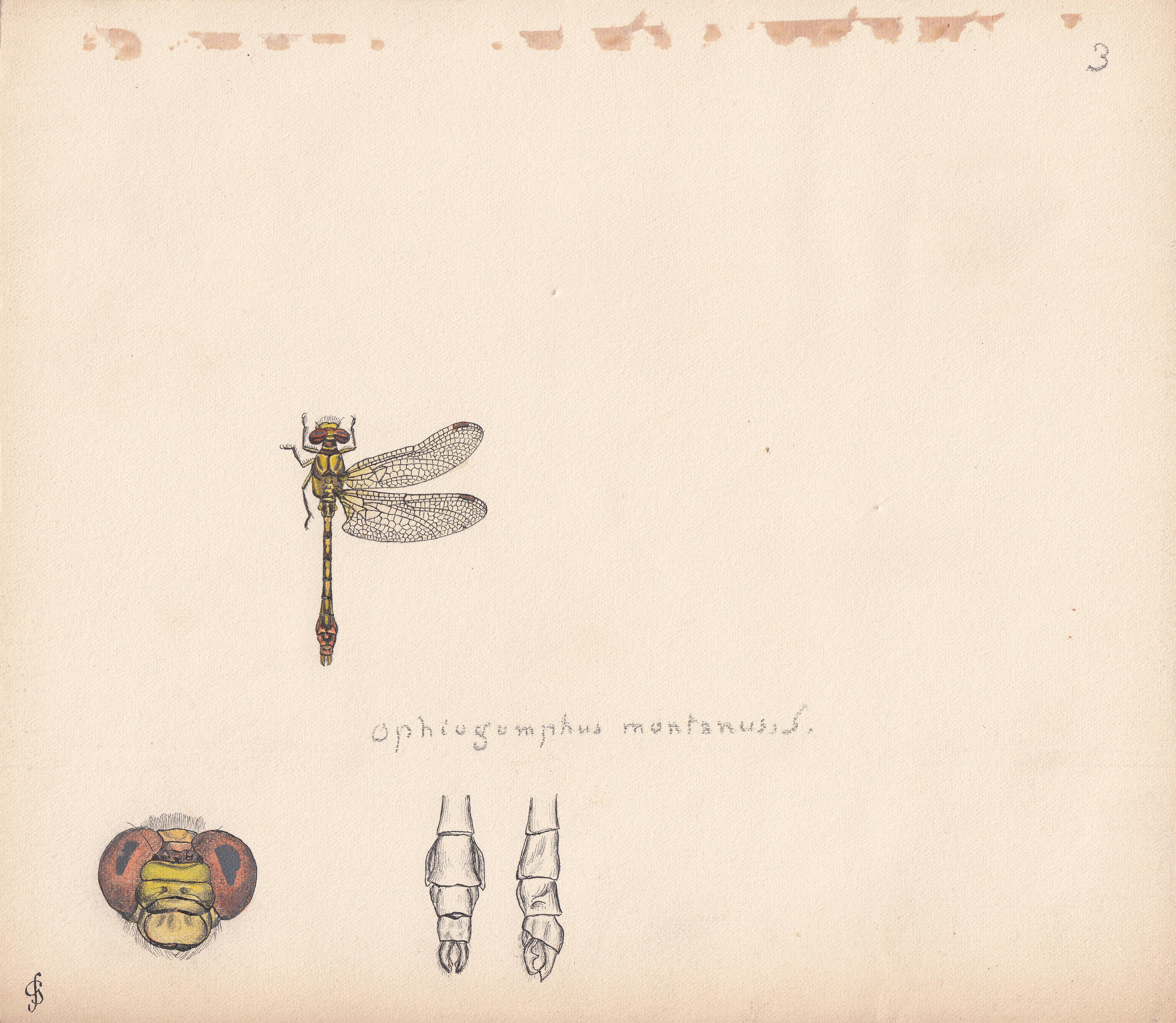 Ophiogomphus montanus.jpg