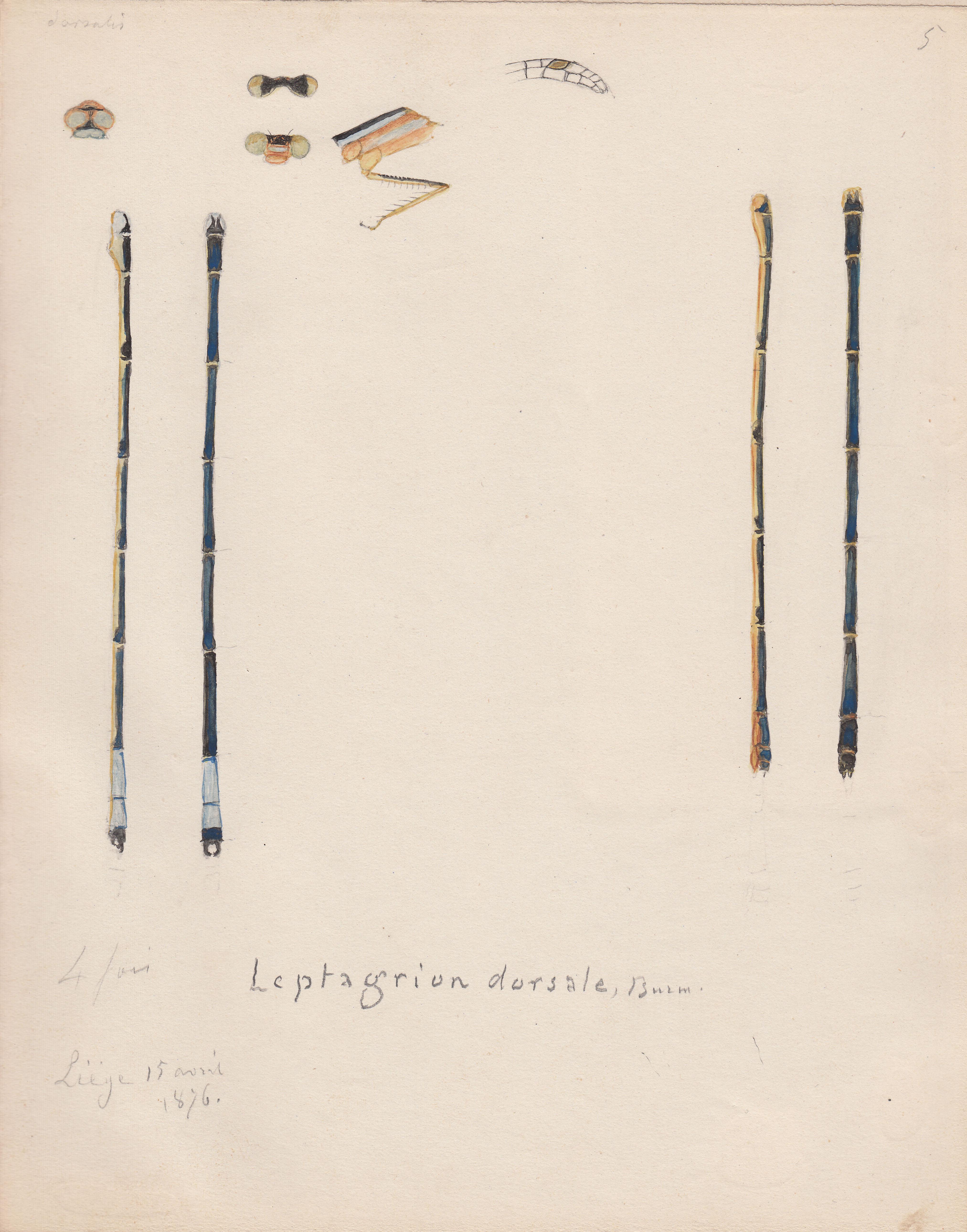 Leptagrion dorsale.jpg