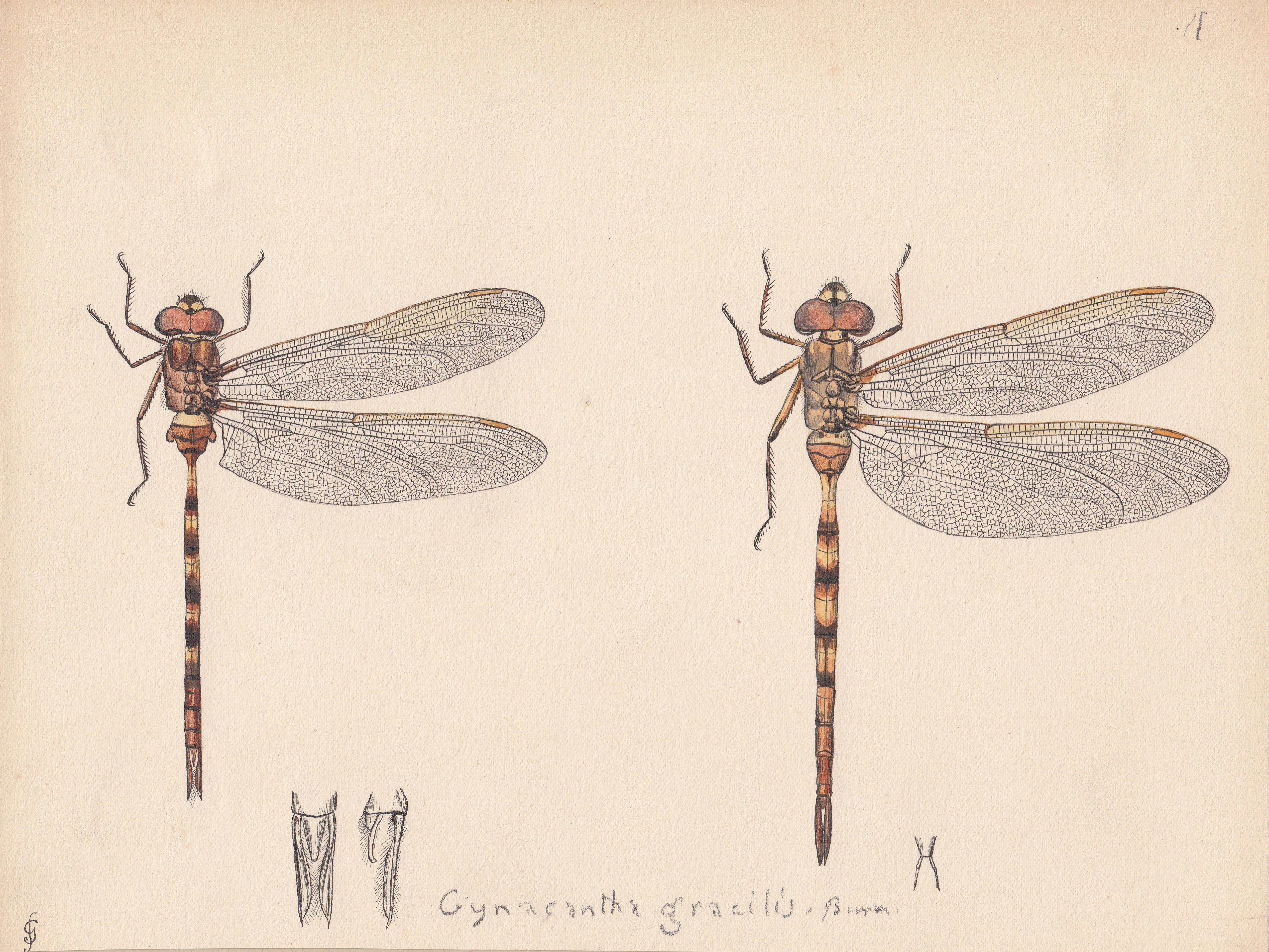 Gynacantha gracilis.jpg