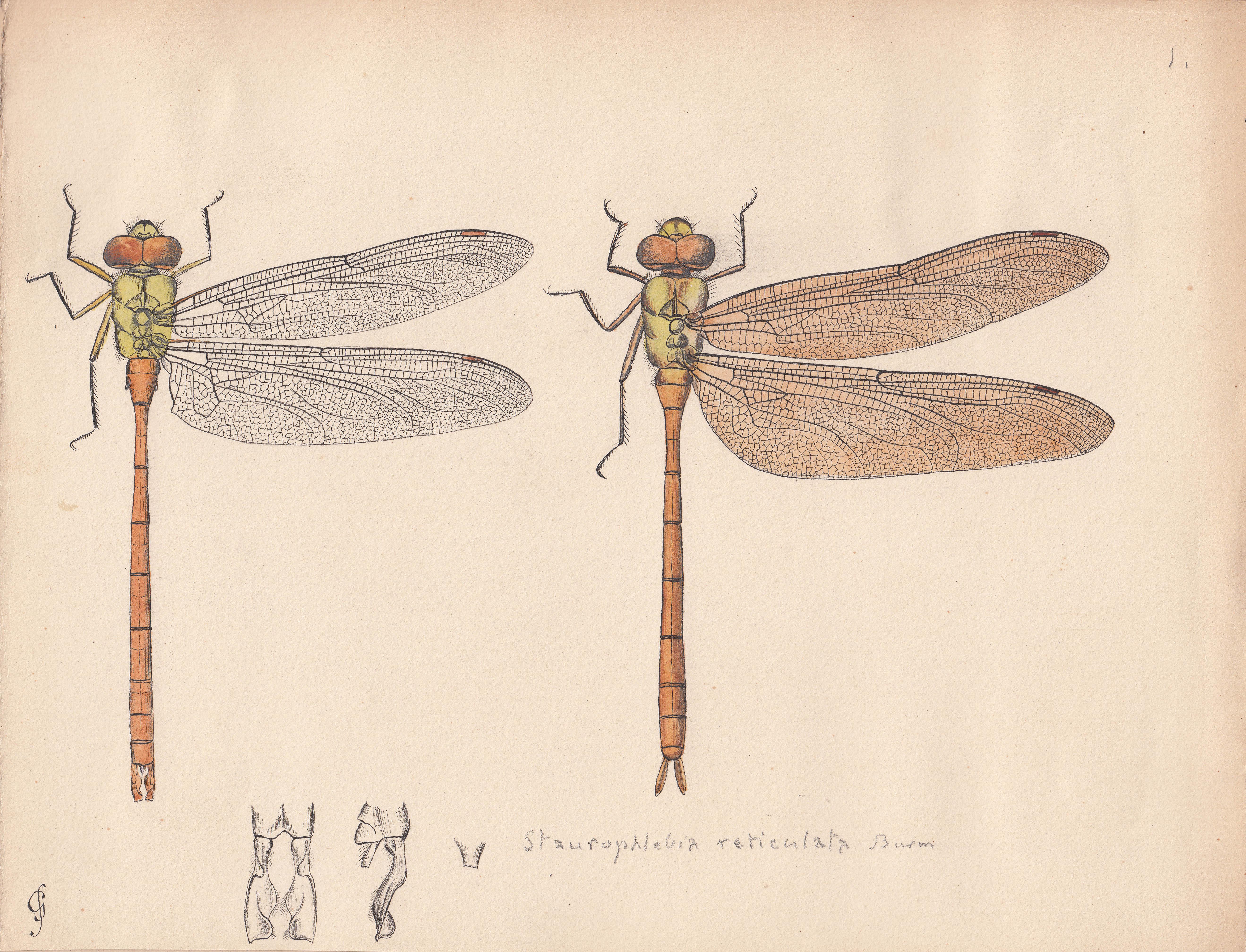 Staurophlebia reticulata.jpg