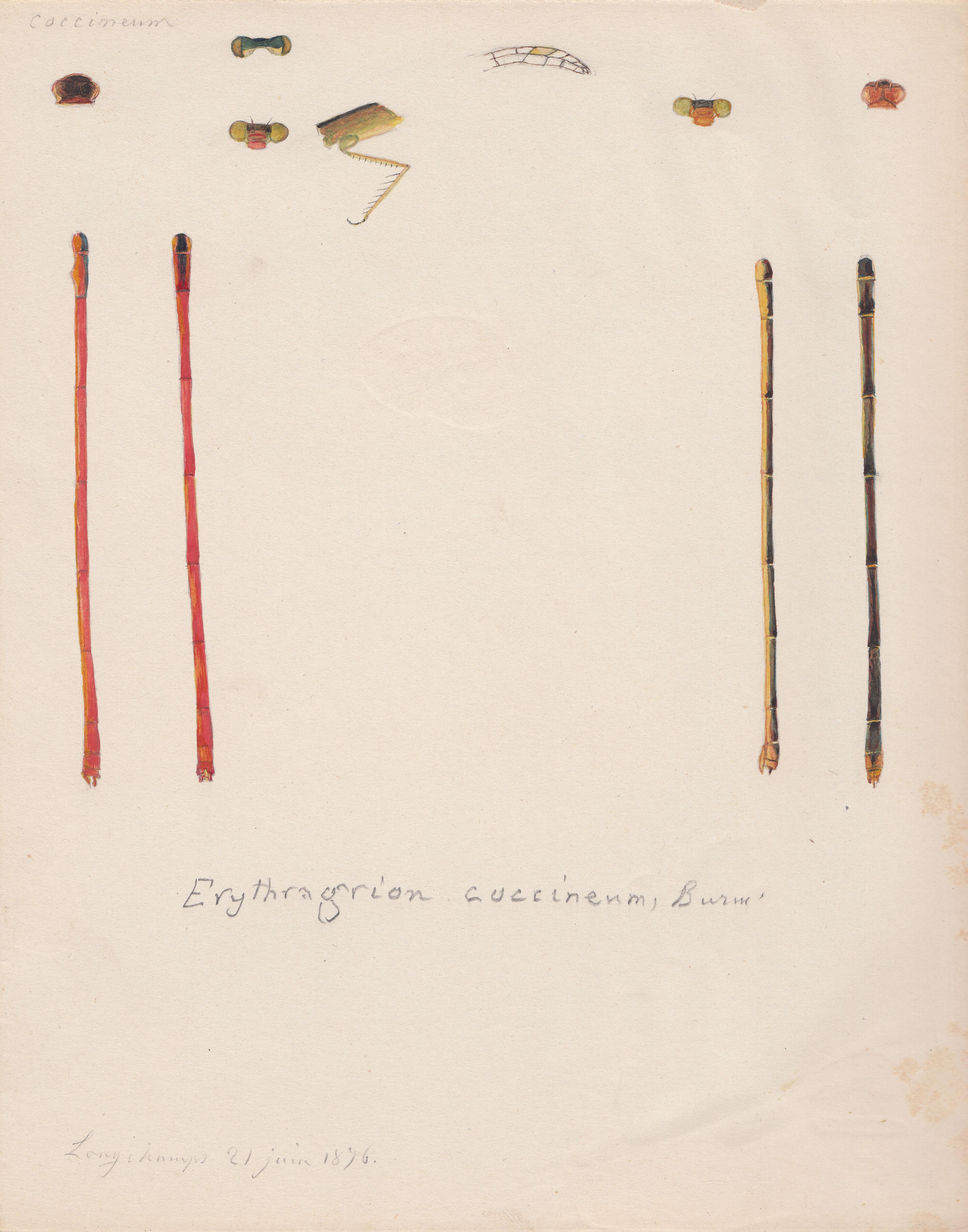 Erythragrion coccineum.jpg