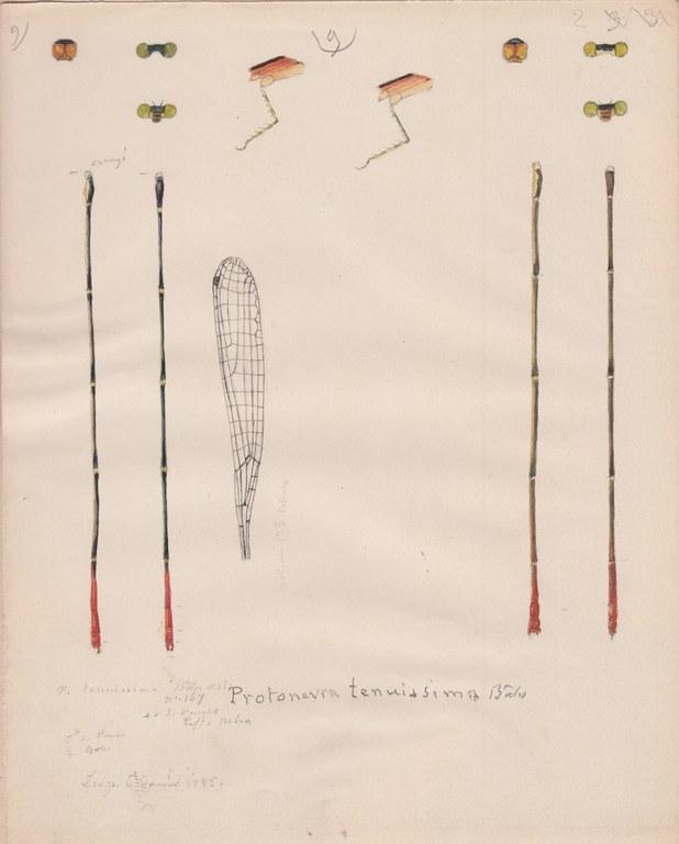 Protoneura tenuissima.jpg
