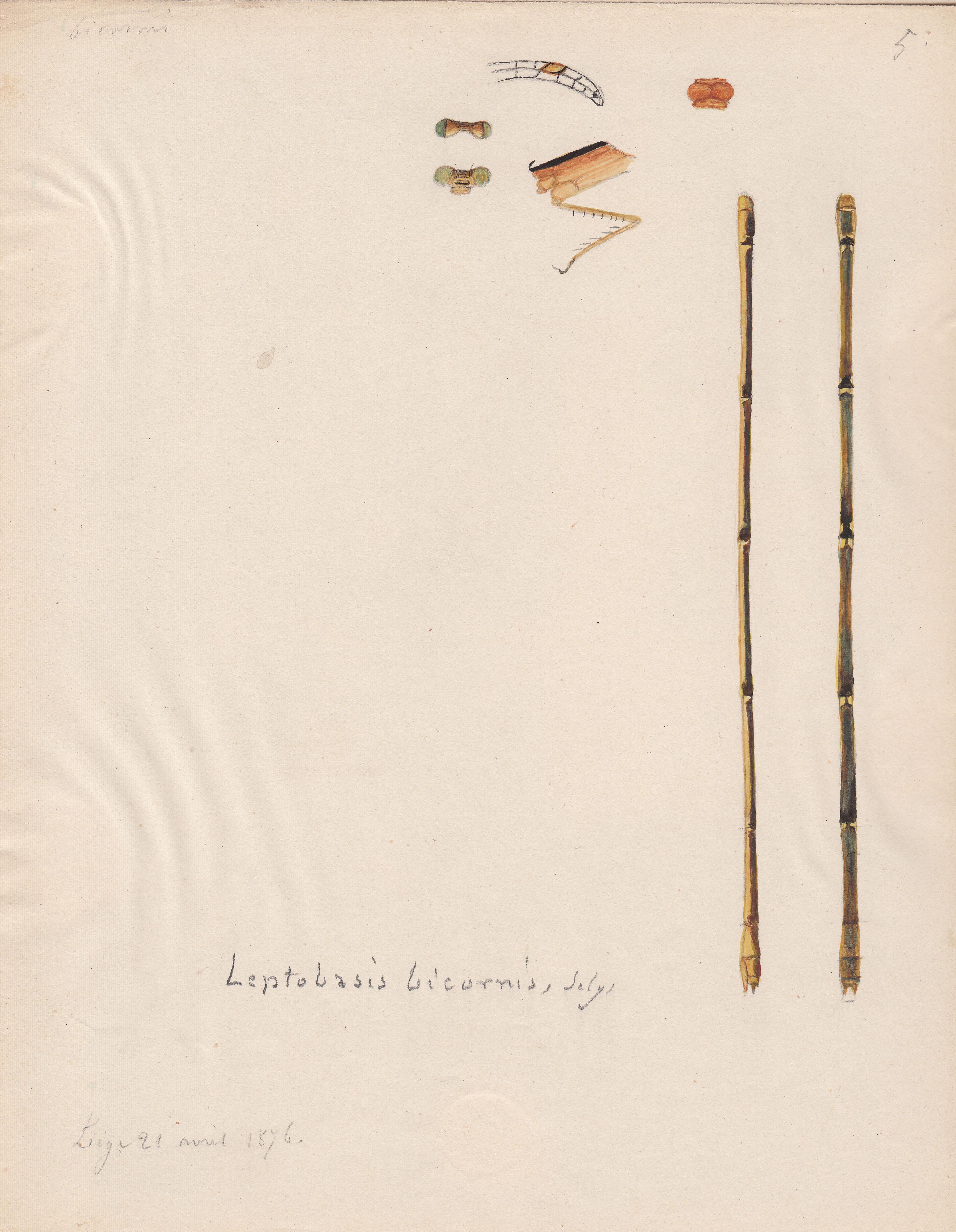 Leptobasis bicornis.jpg