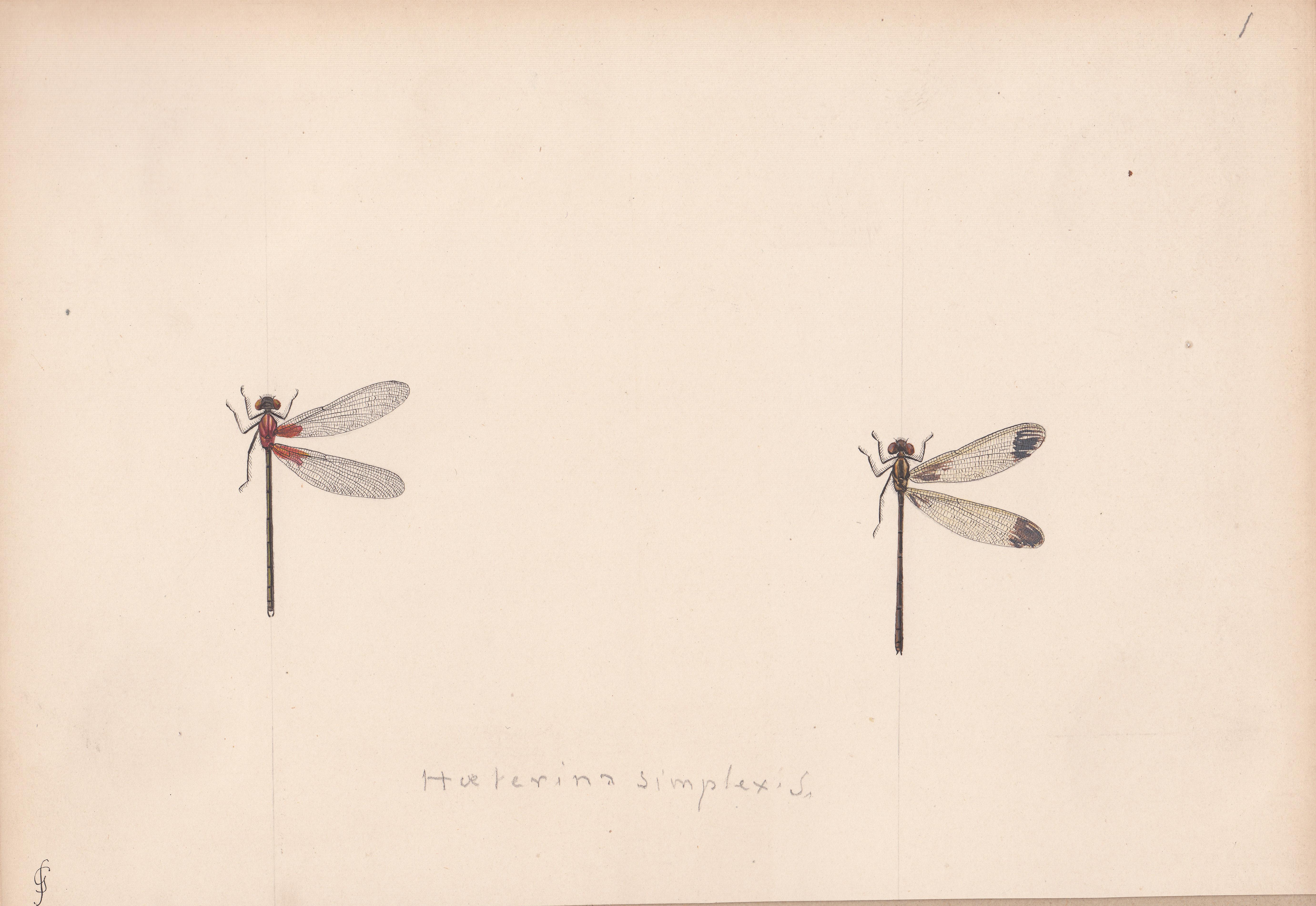 Hoeterina simplex.jpg