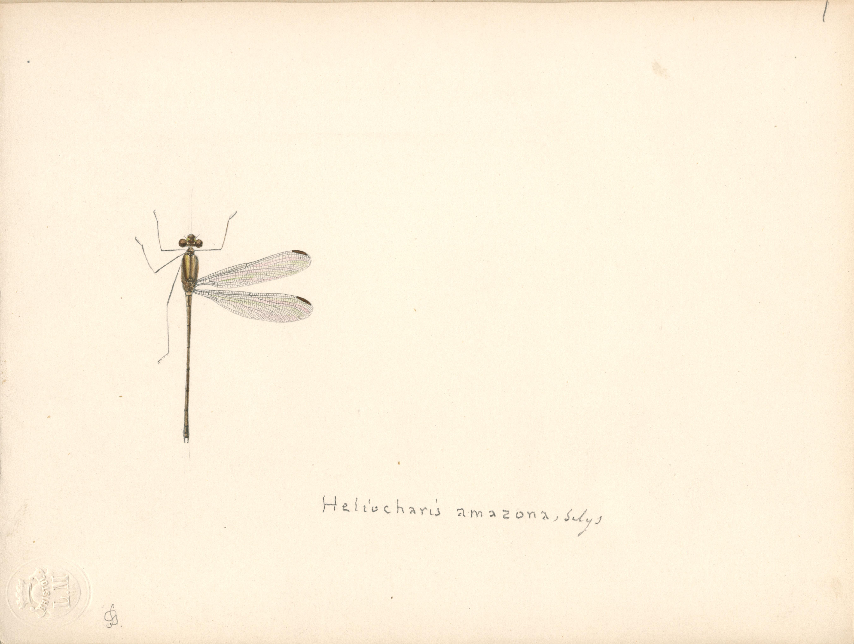 Heliocharis amazona.jpg