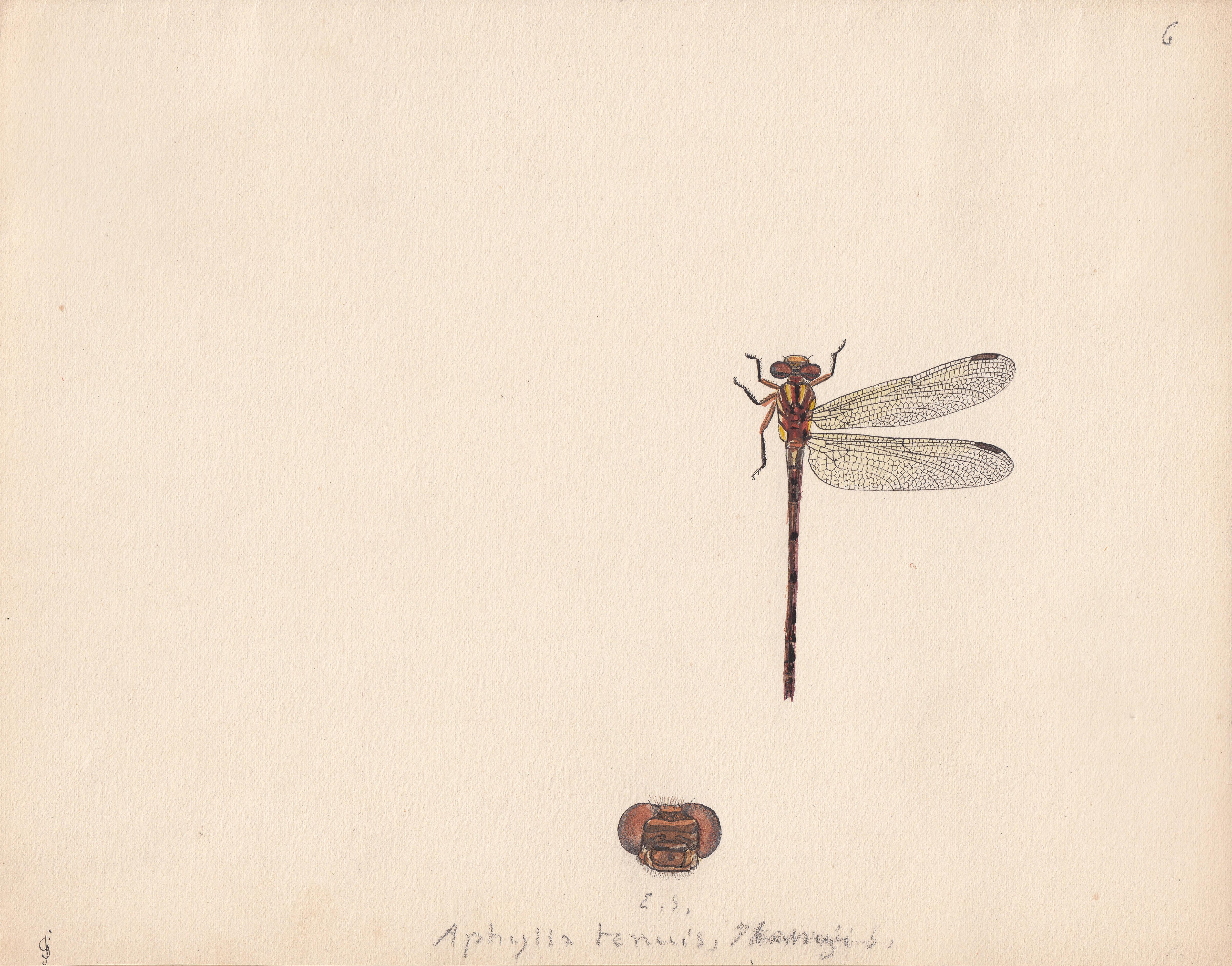 Aphylla tenuis.jpg