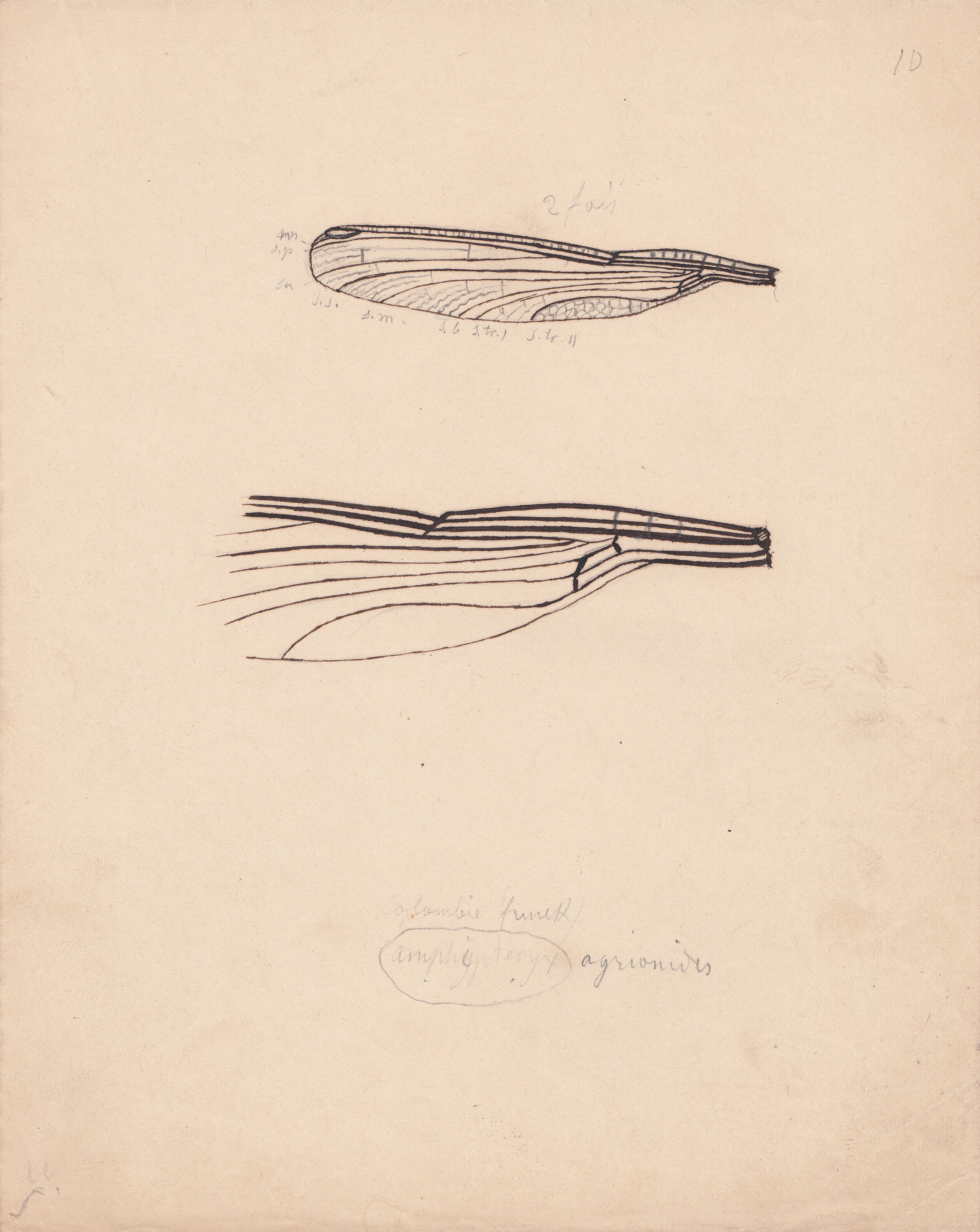 Amphipteryx agrionides.jpg