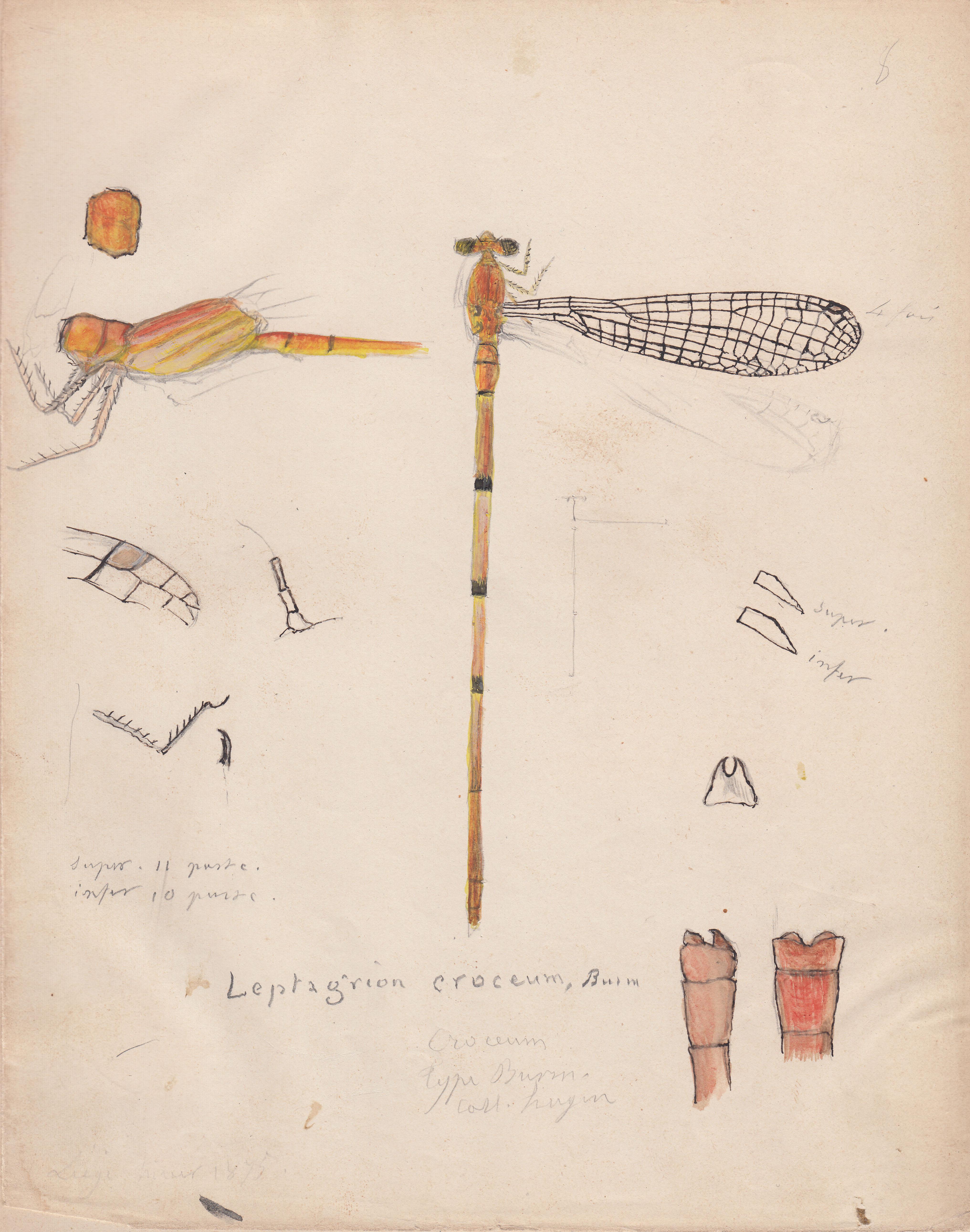 Leptagrion croceum.jpg