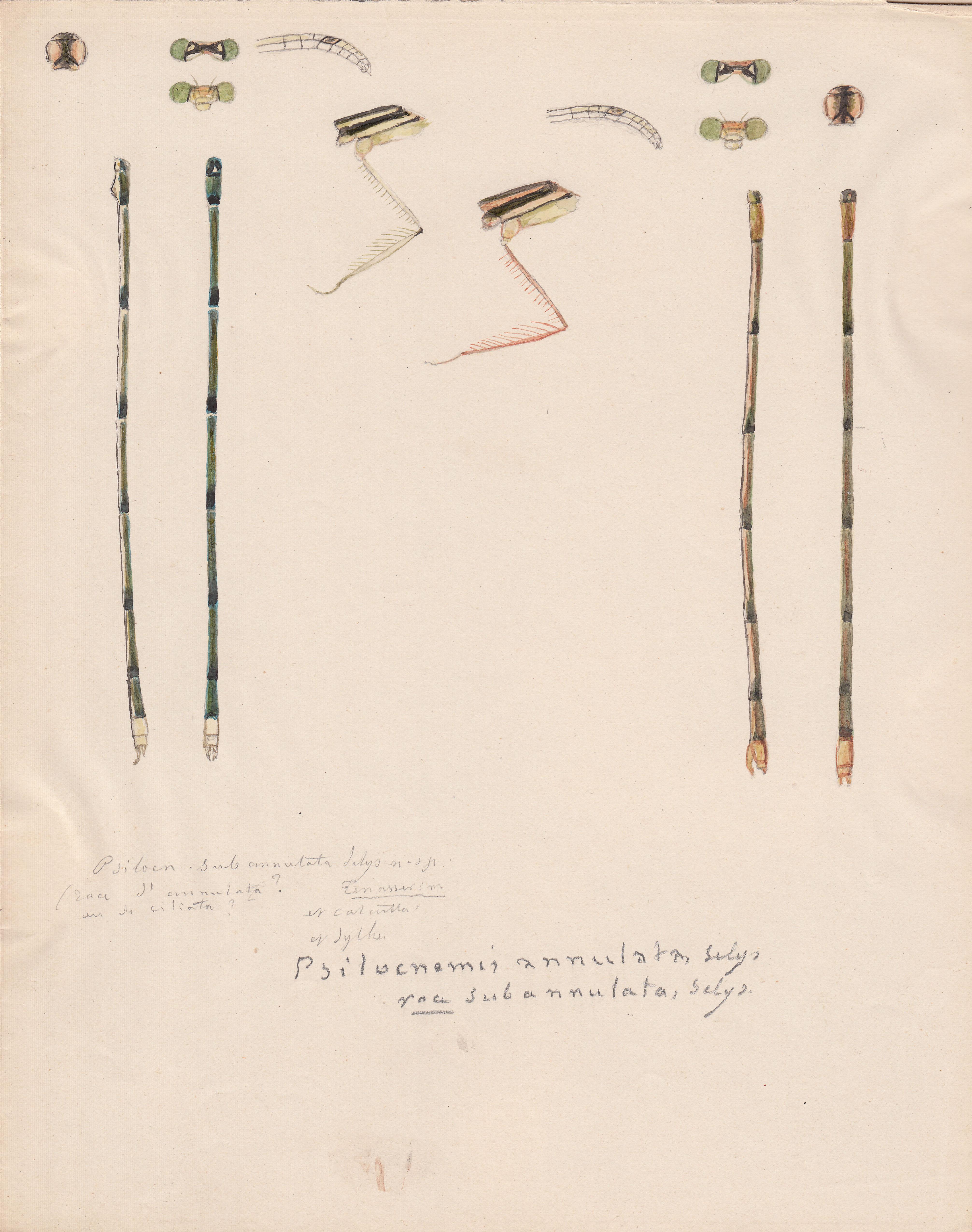 Psilocnemis annulata variety subannulata.jpg