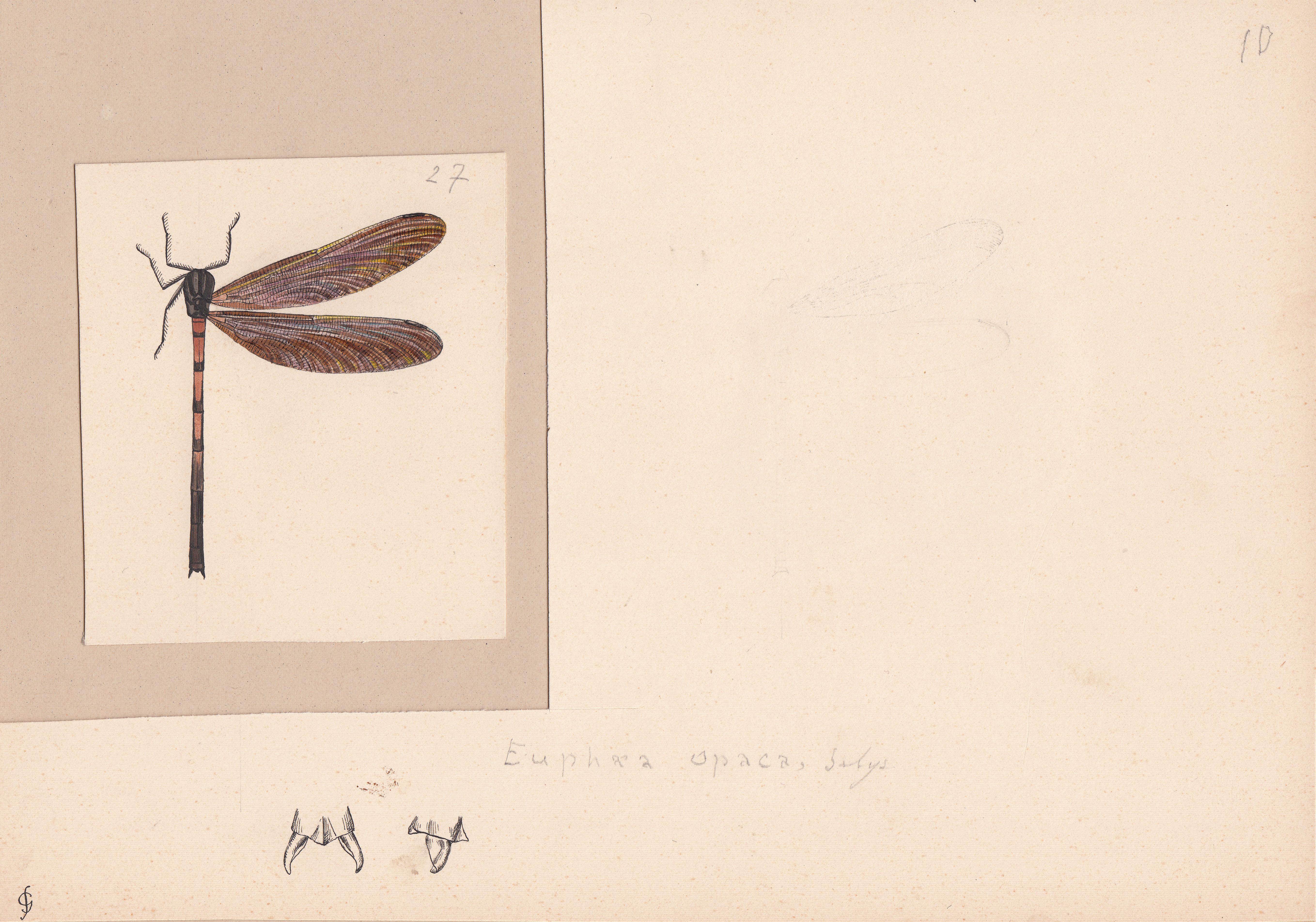 Euphaea opaca.jpg