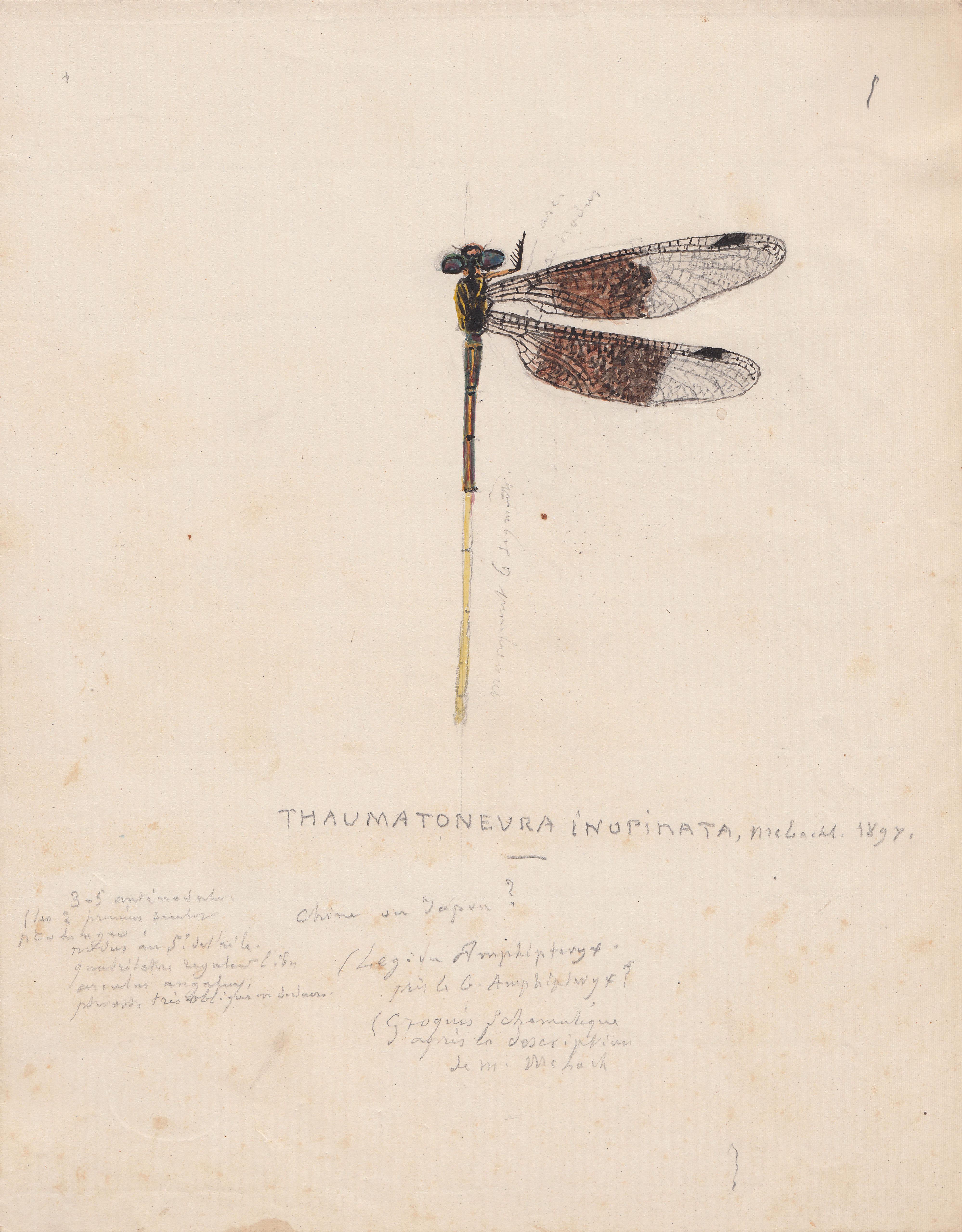 Thaumatoneura inopinata.jpg