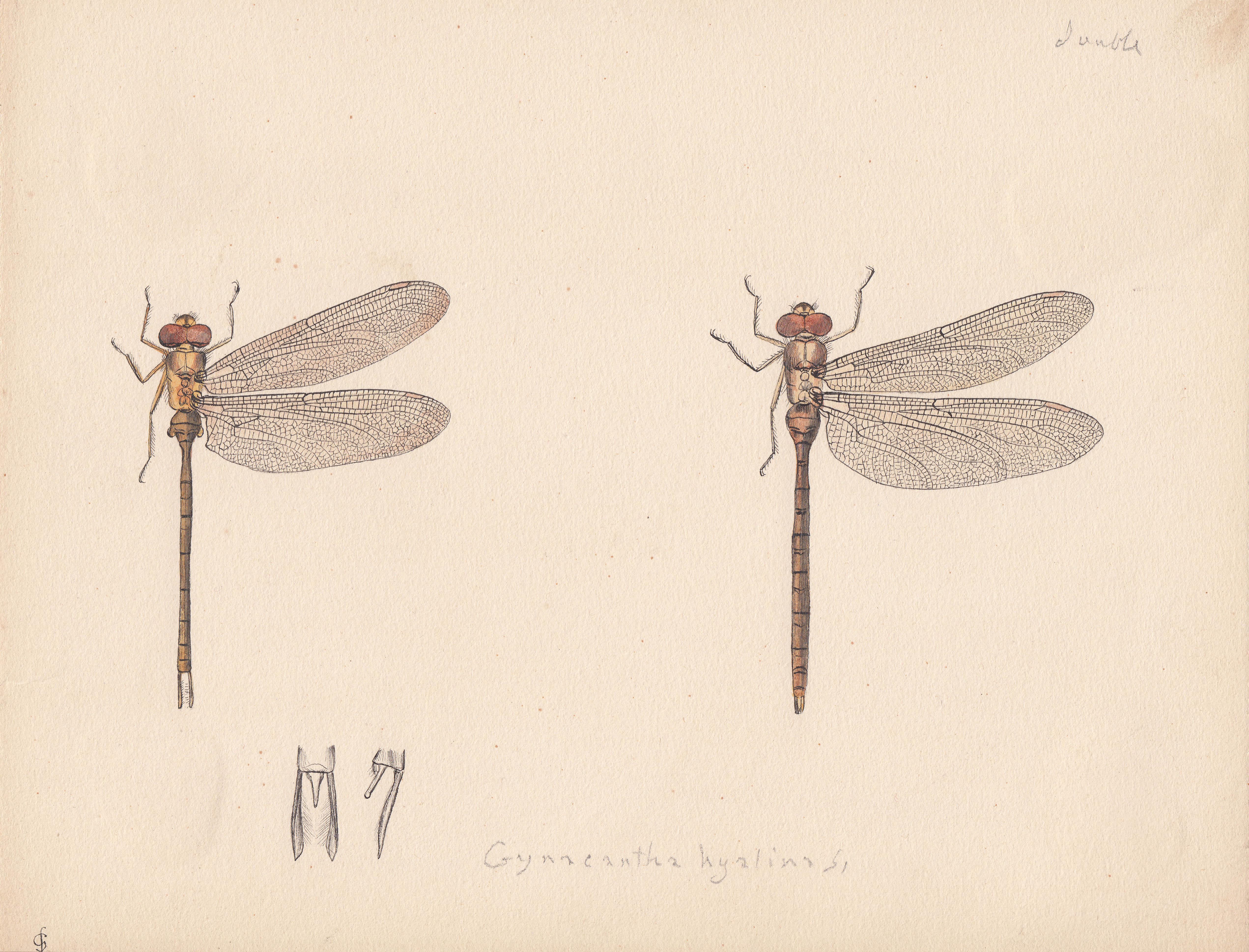 Gynacantha hyalina.jpg