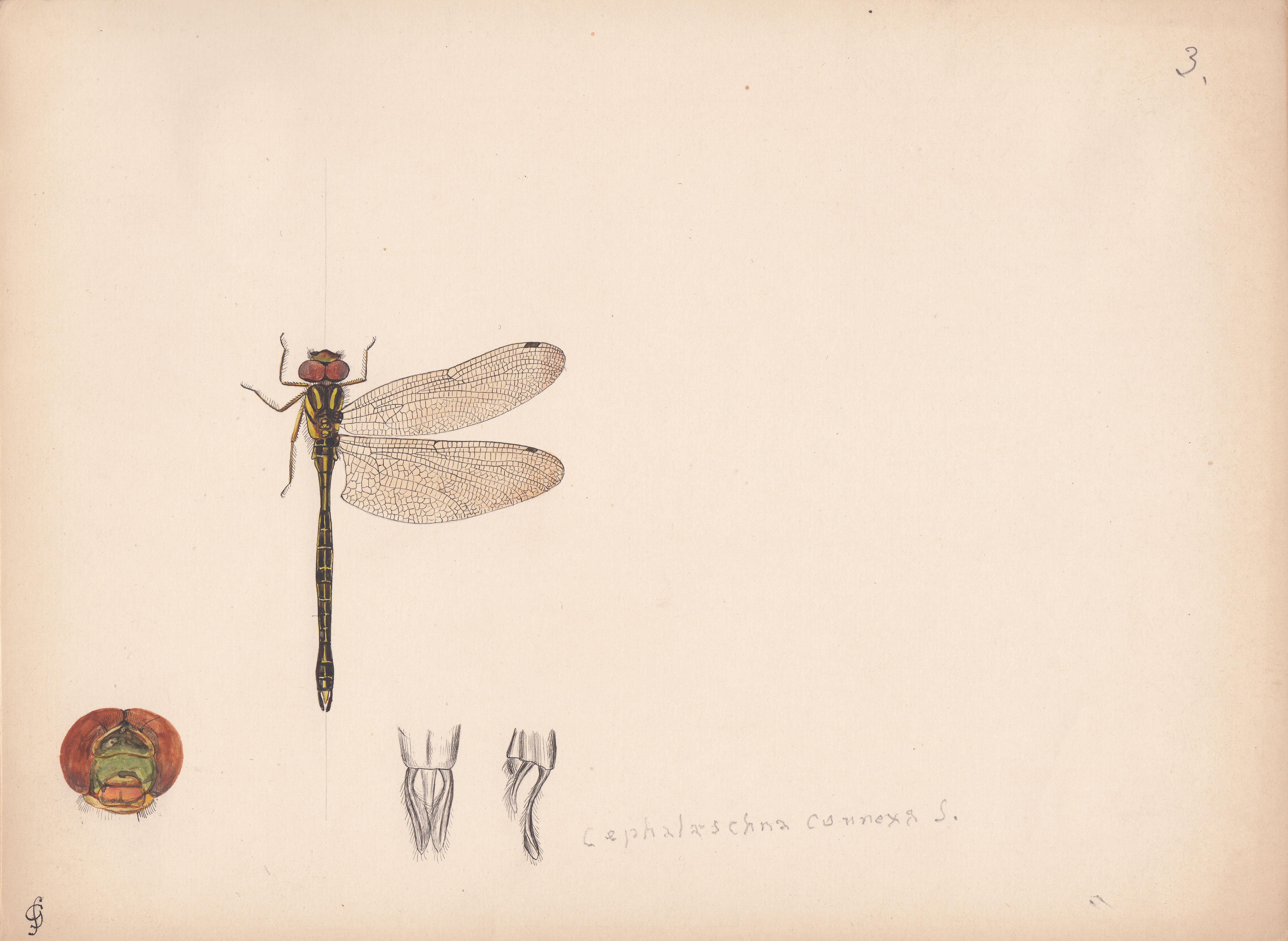 Cephalaeschna connexa.jpg