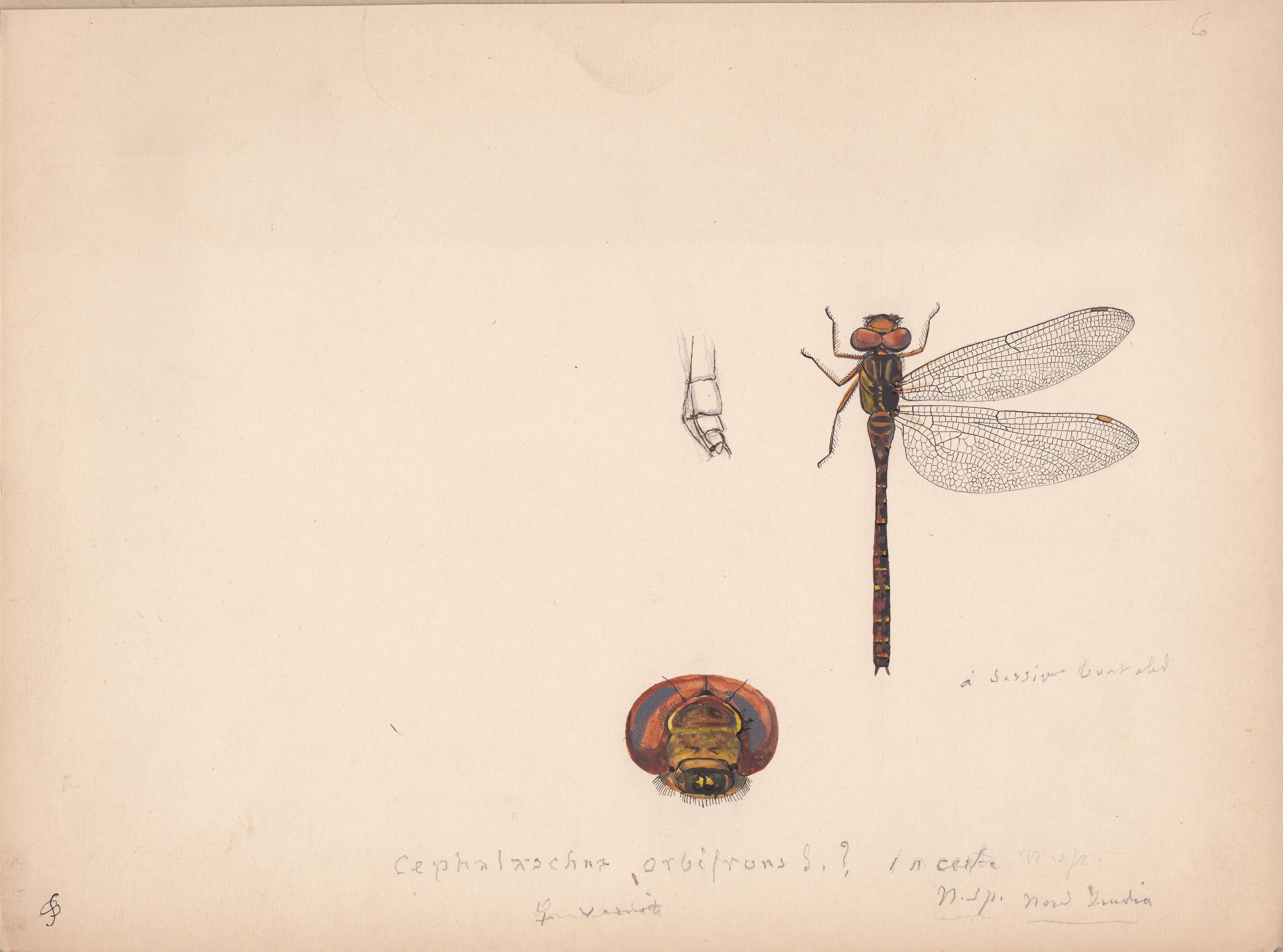Cephalaeschna orbifrons incerta.jpg