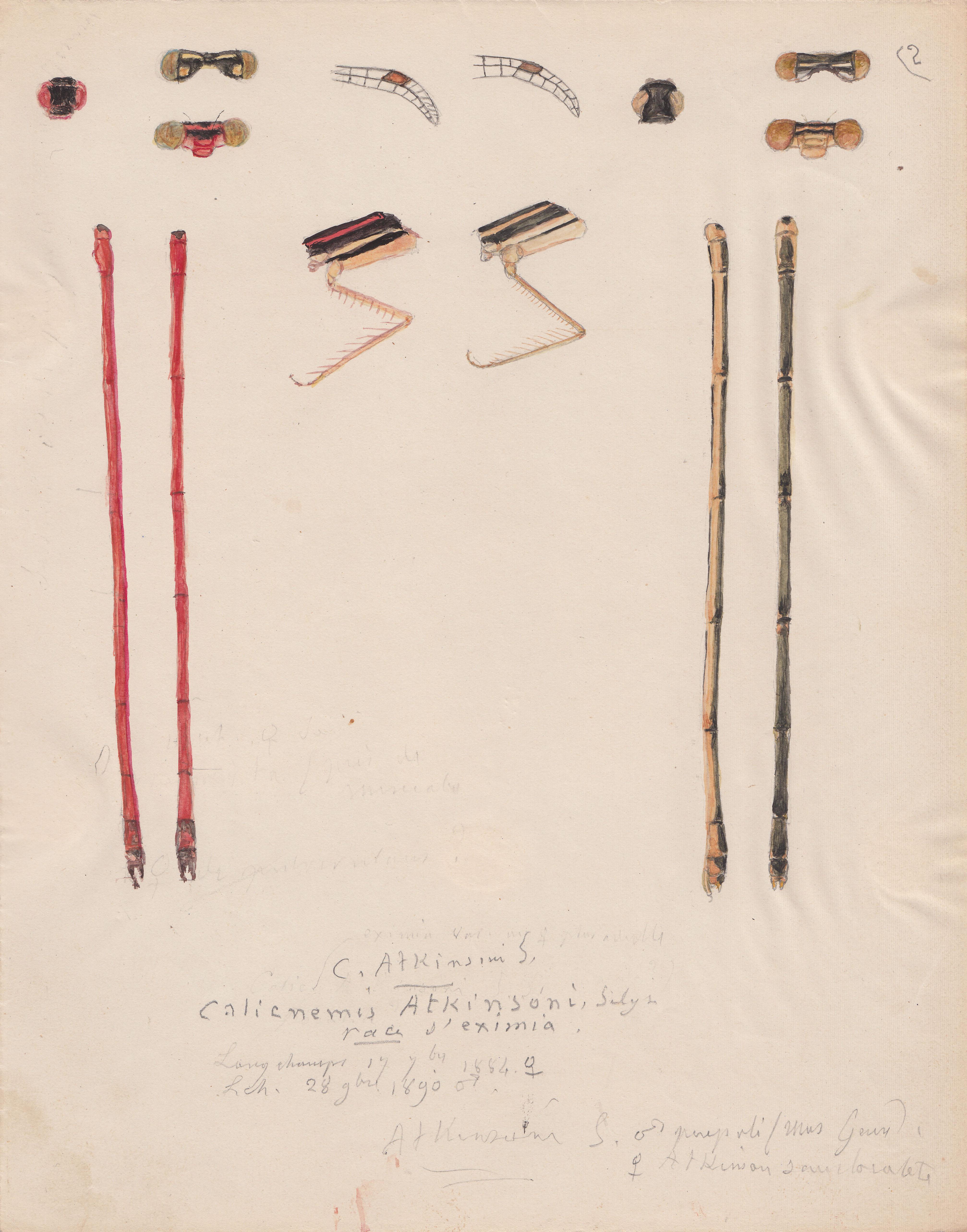 Calicnemis atkinsoni variety eximia.jpg