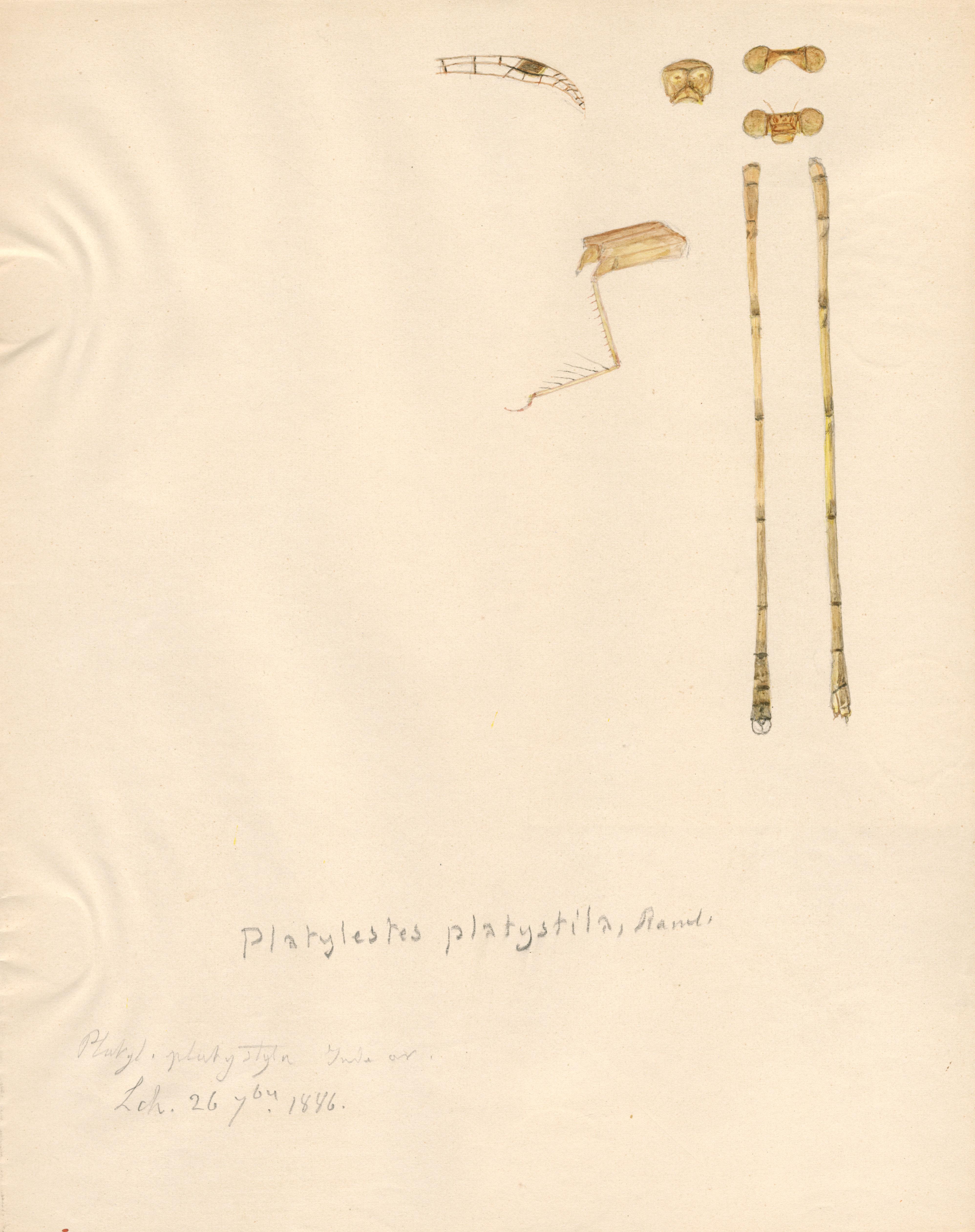 Platylestes platystyla.jpg