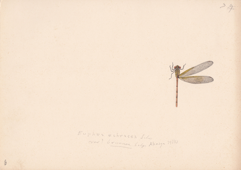 Euphaea ochracea variety brunnea.jpg