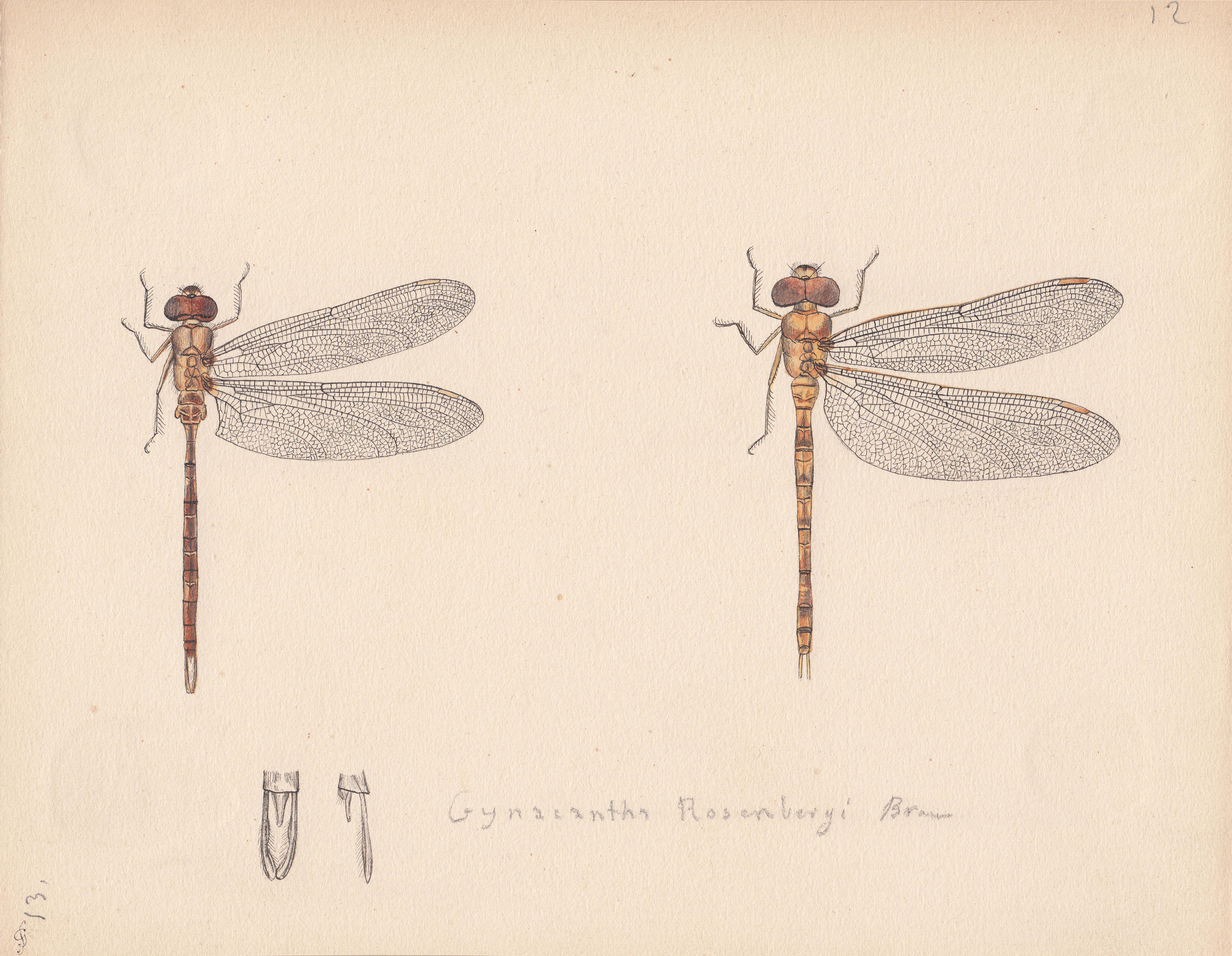 Gynacantha rosenbergi.jpg