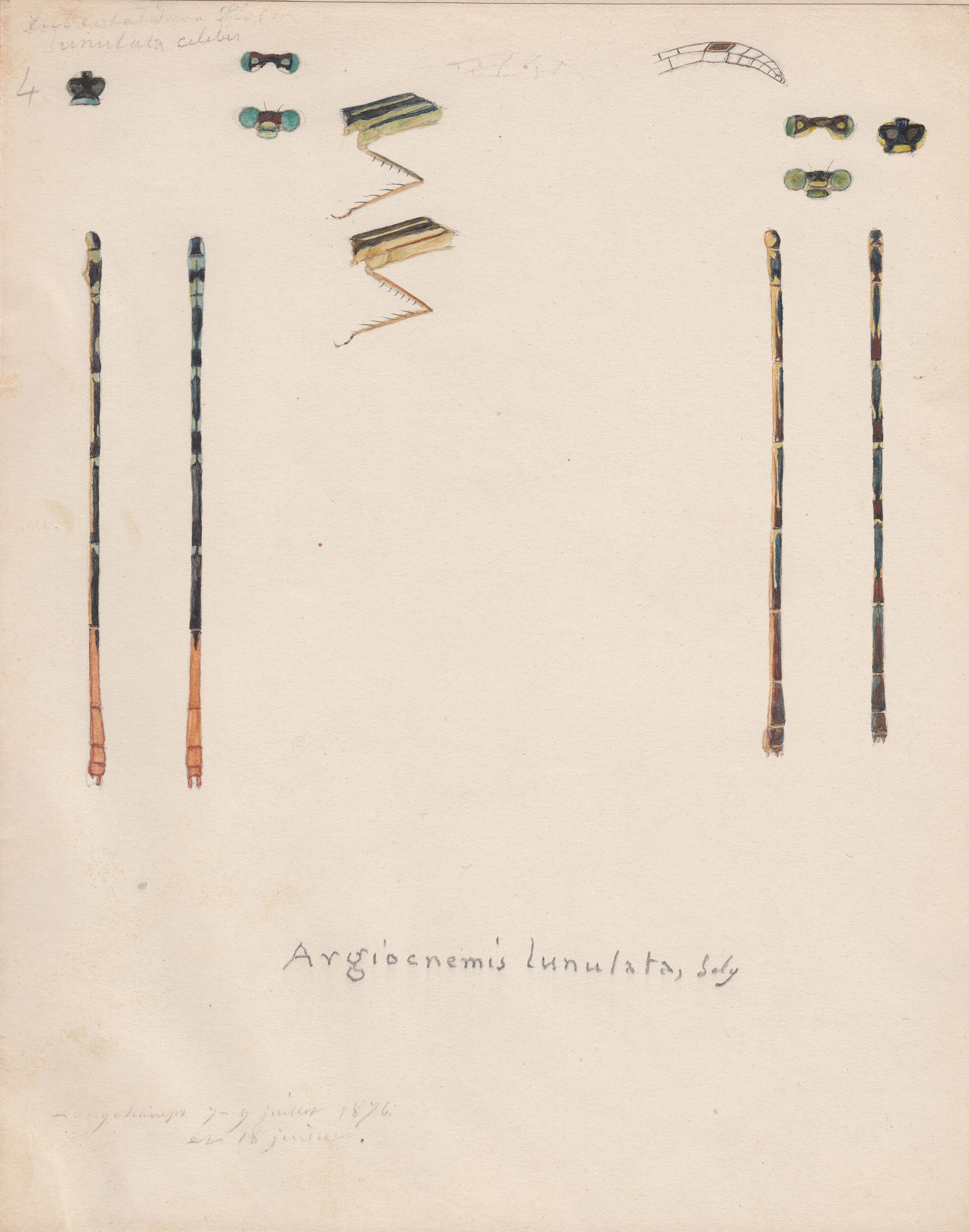 Argiocnemis lunulata.jpg