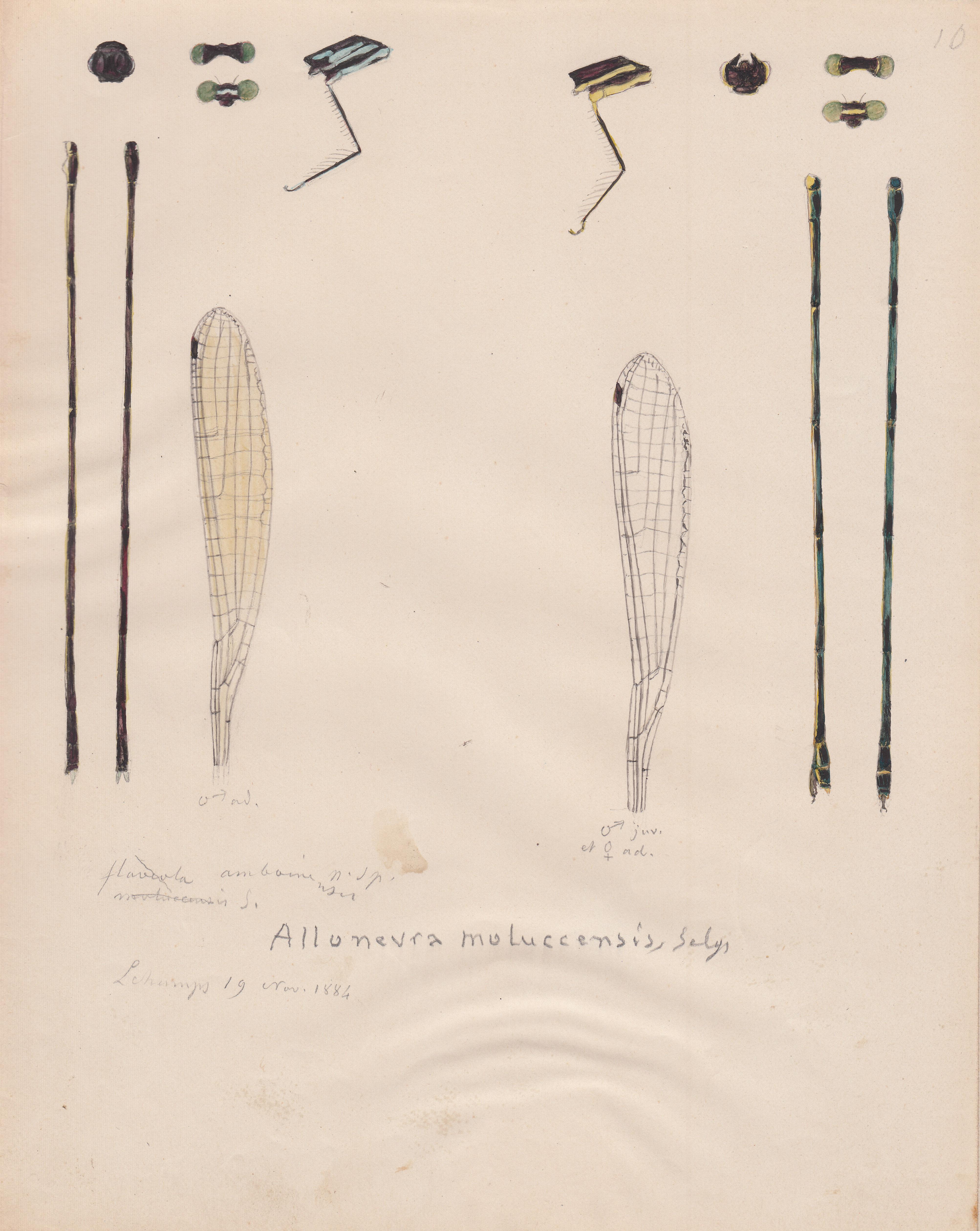 Alloneura moluccensis.jpg