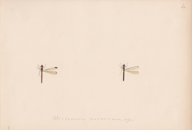 Micromerus aurantiacus.jpg