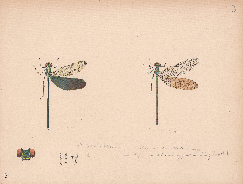 Neurobasis chinensis variety australis.jpg