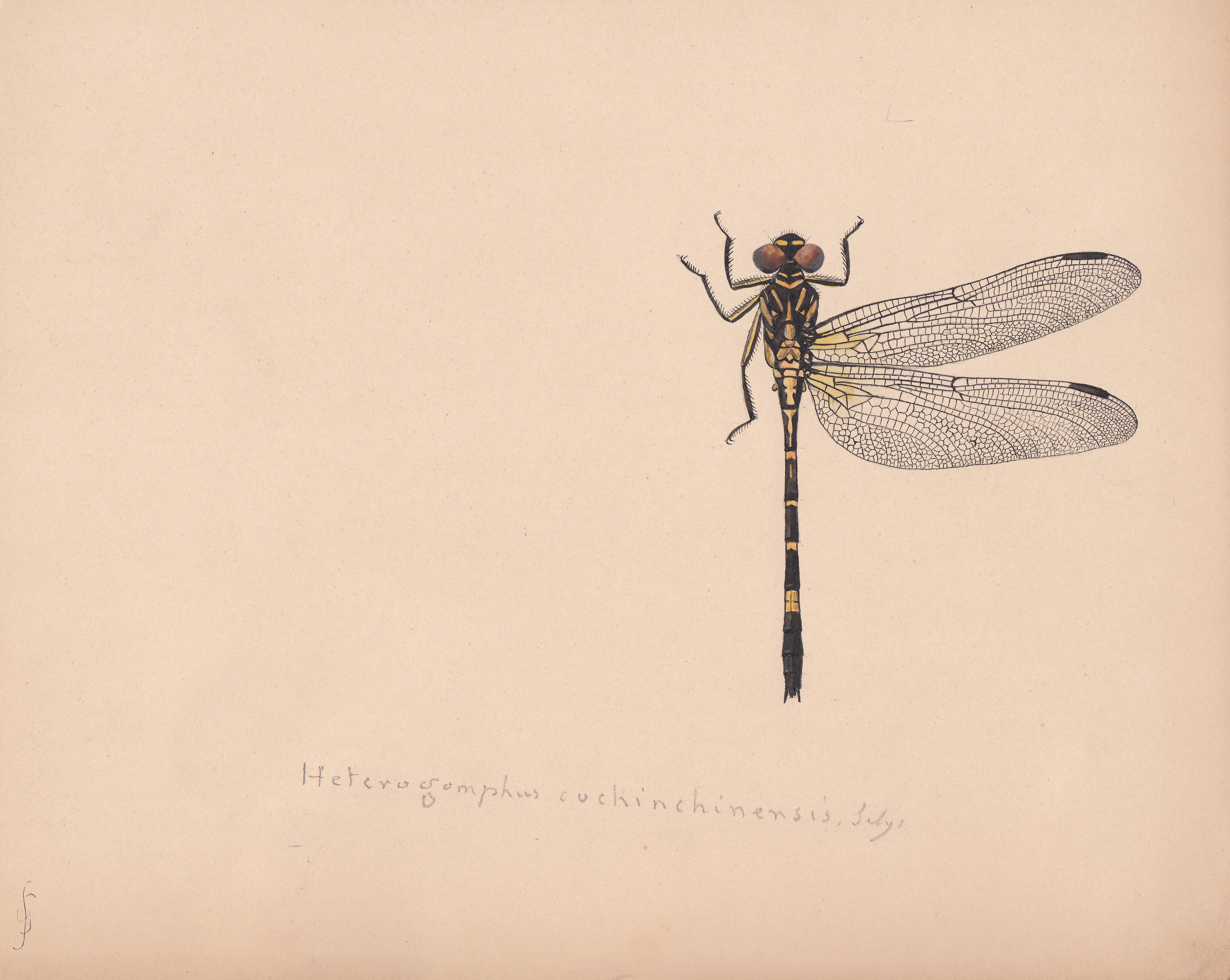 Heterogomphus cochinchinensis.jpg