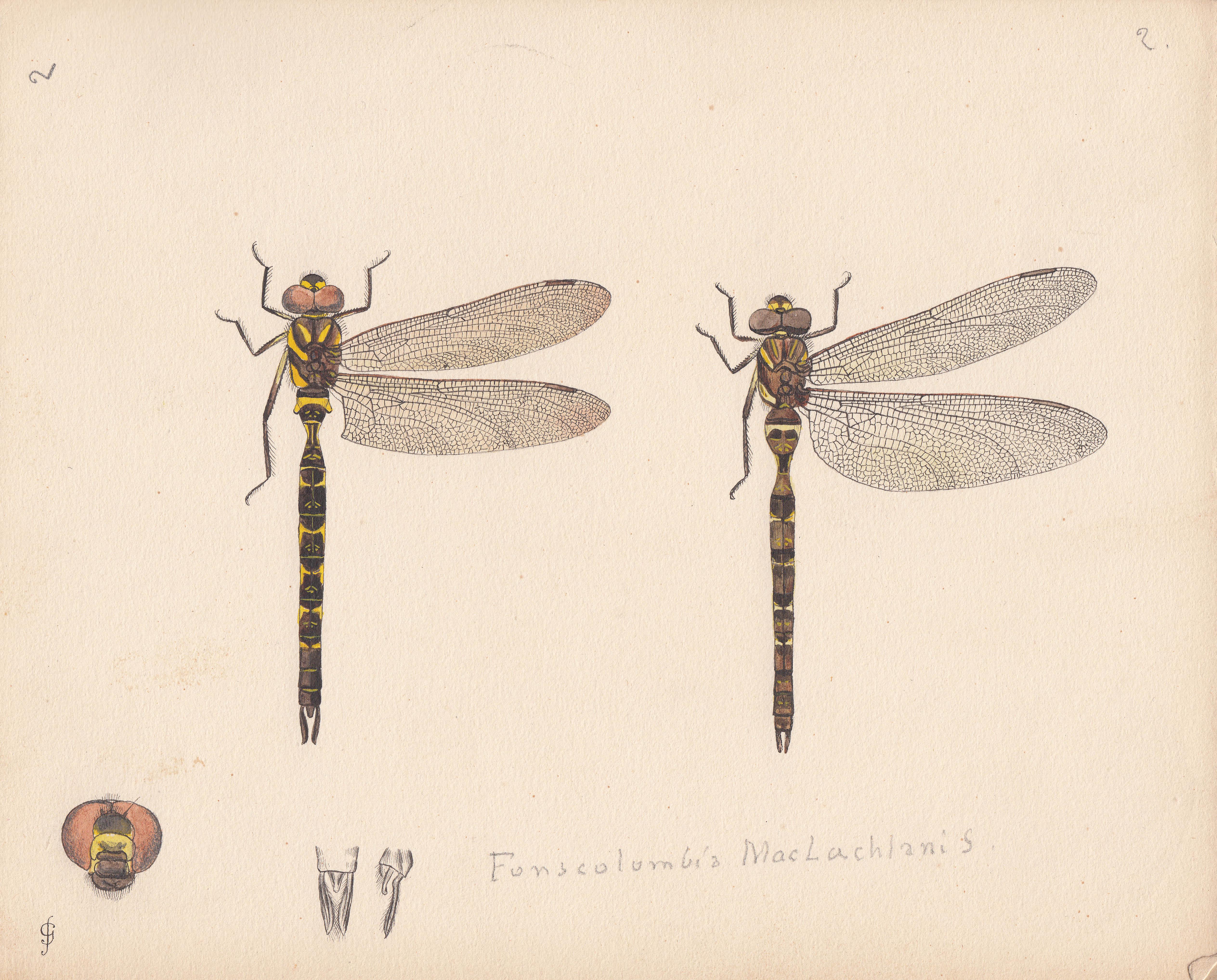 Fonscolombia maclachlani.jpg