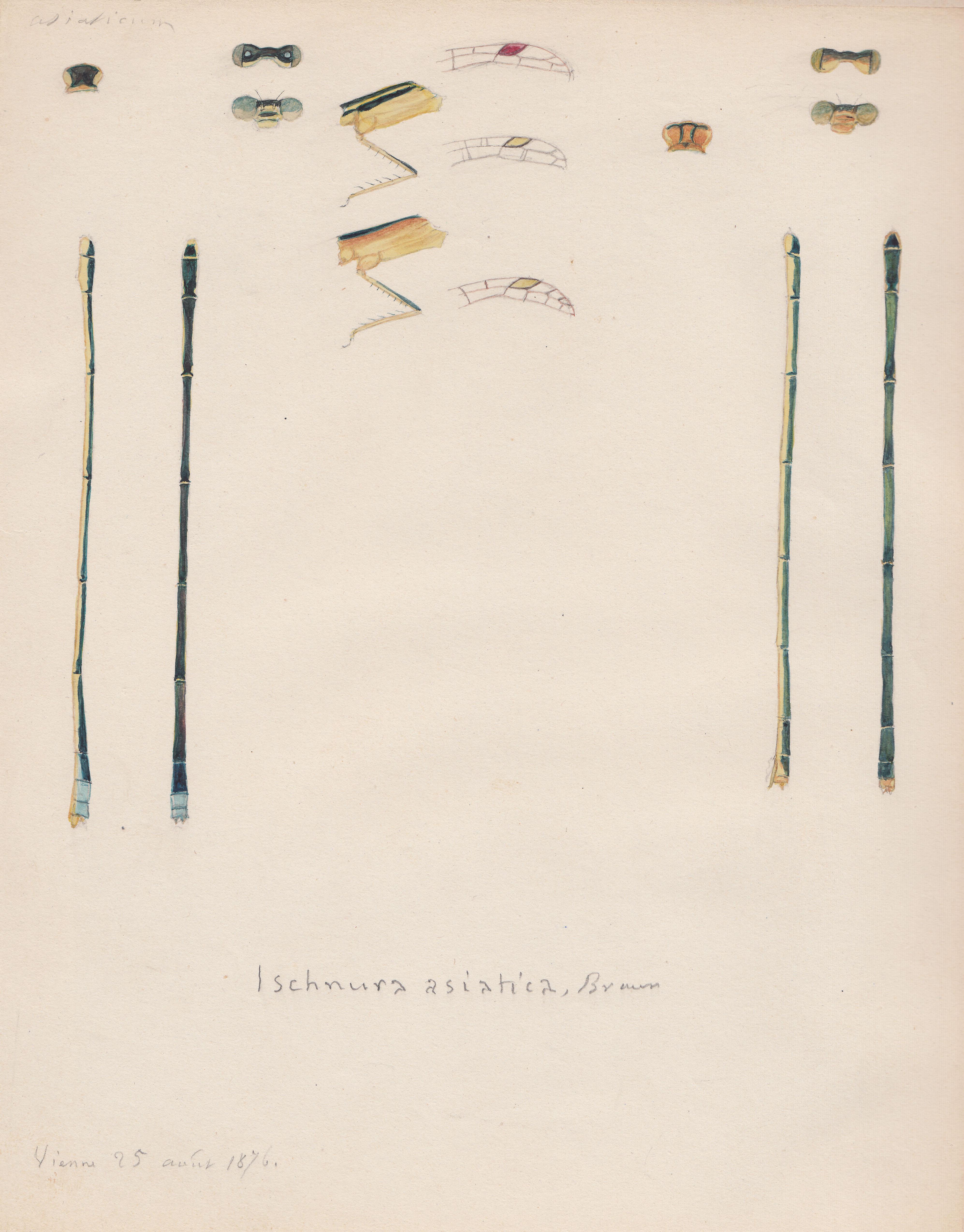 Ischnura asiatica.jpg