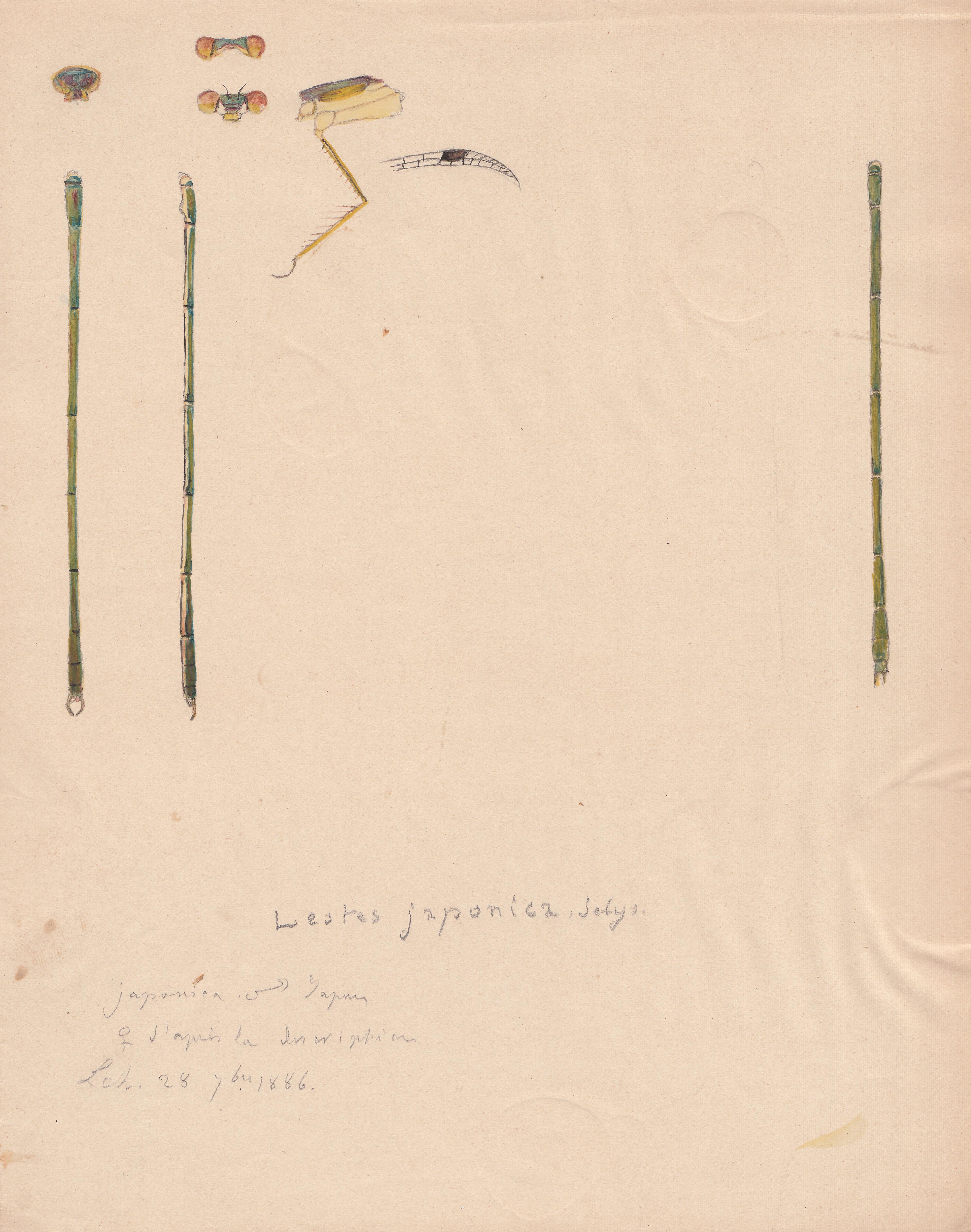 Lestes japonica.jpg