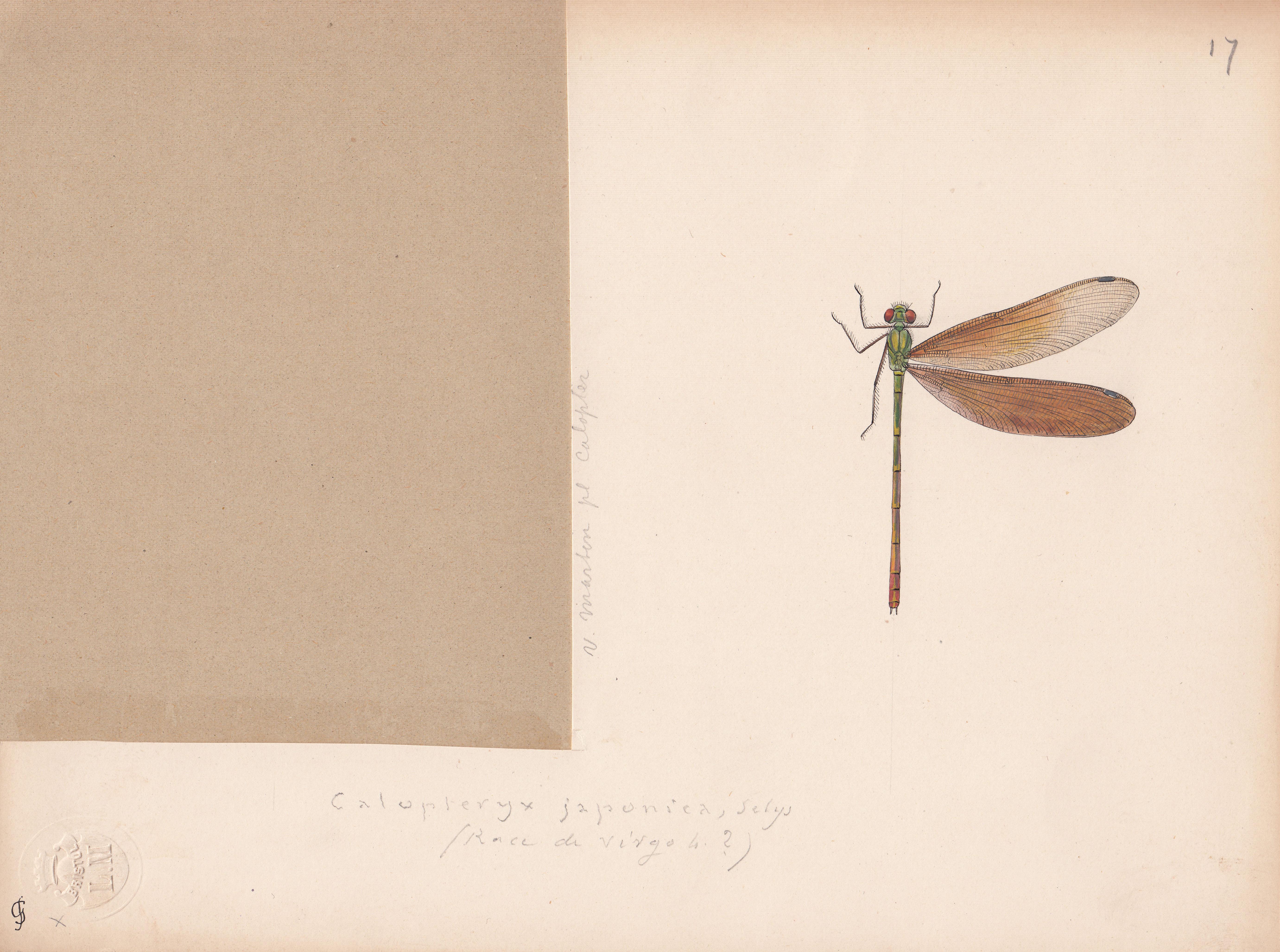 Calopteryx japonica.jpg