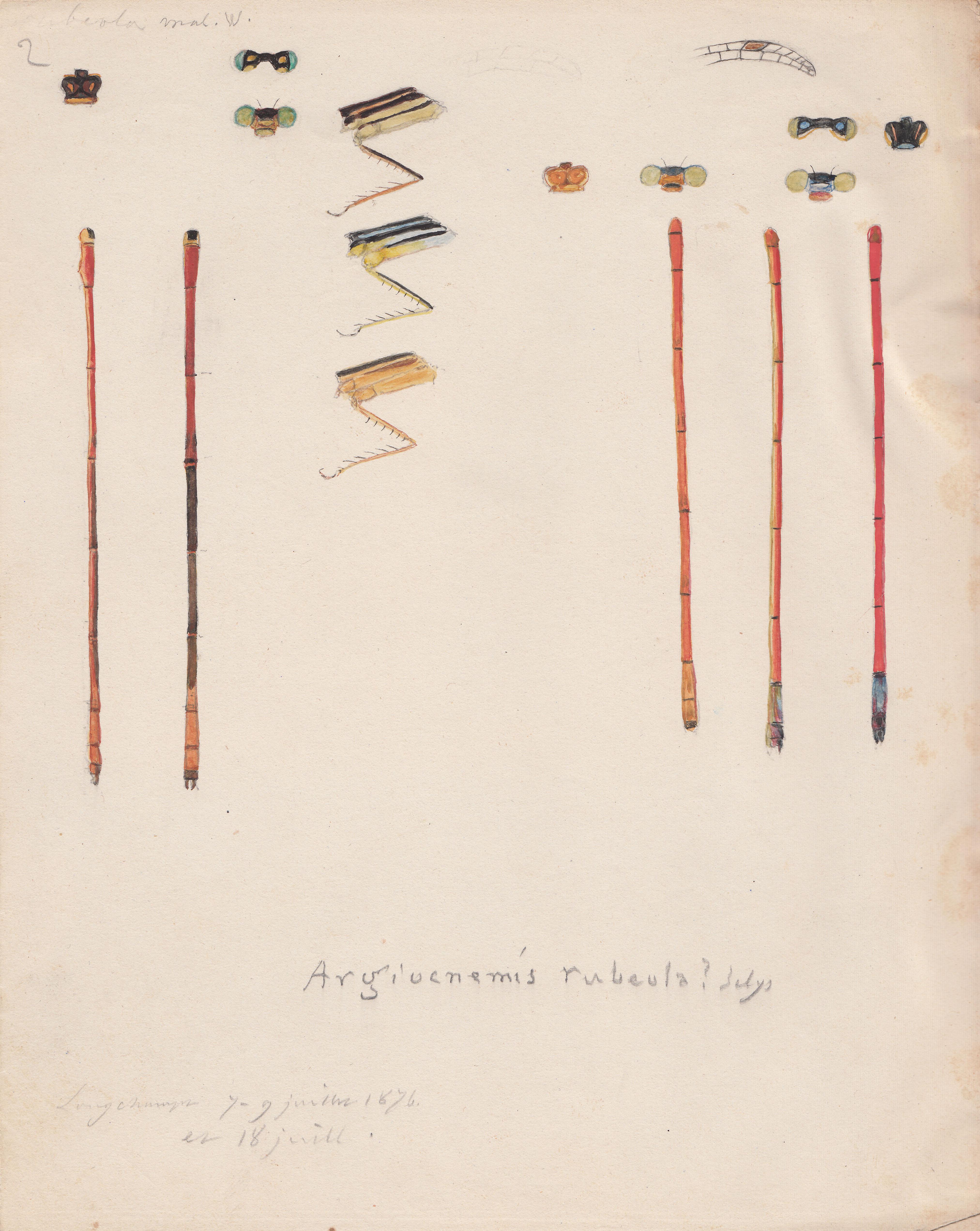 Argiocnemis rubeola.jpg