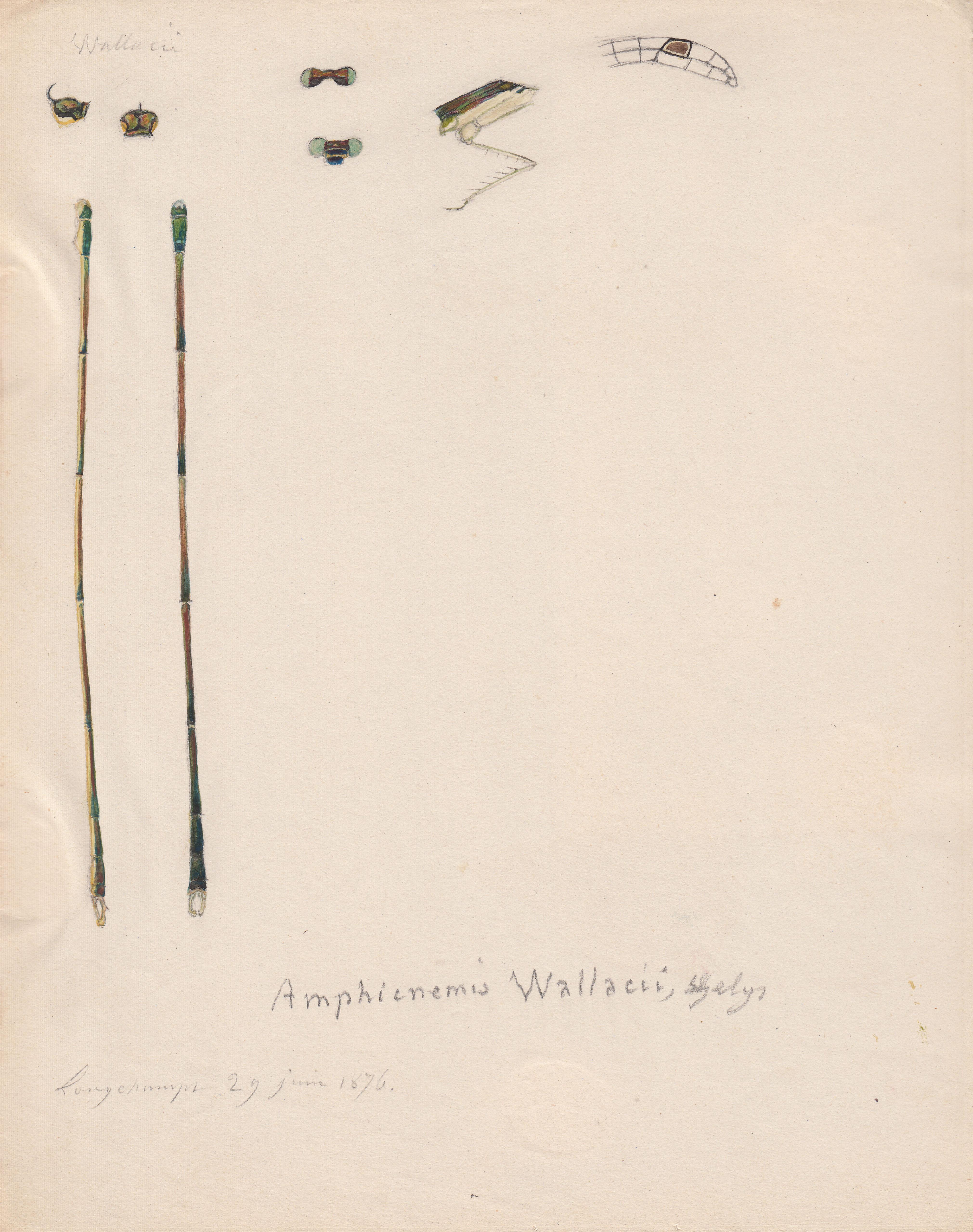 Amphicnemis wallacii.jpg