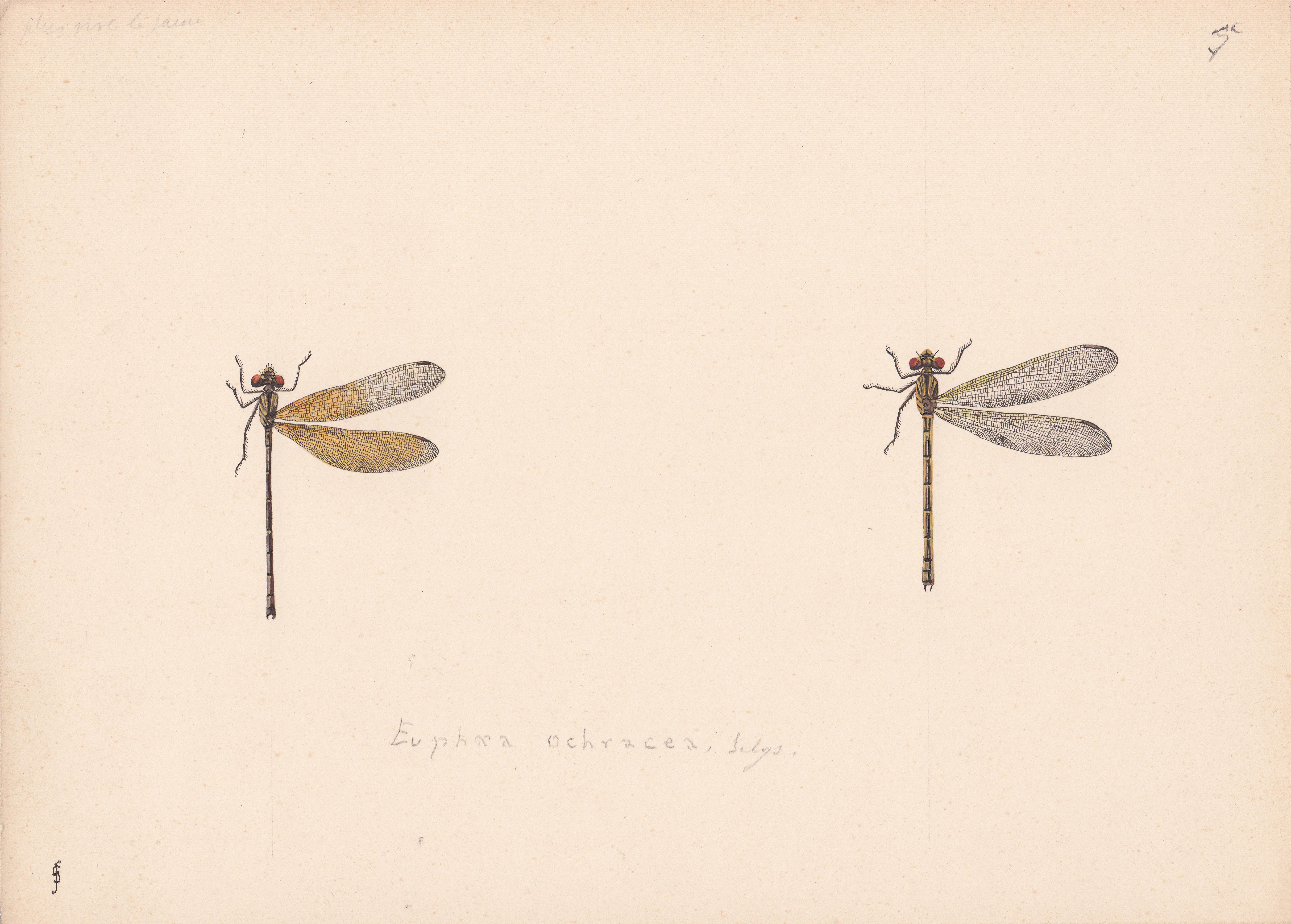 Euphaea ochracea.jpg